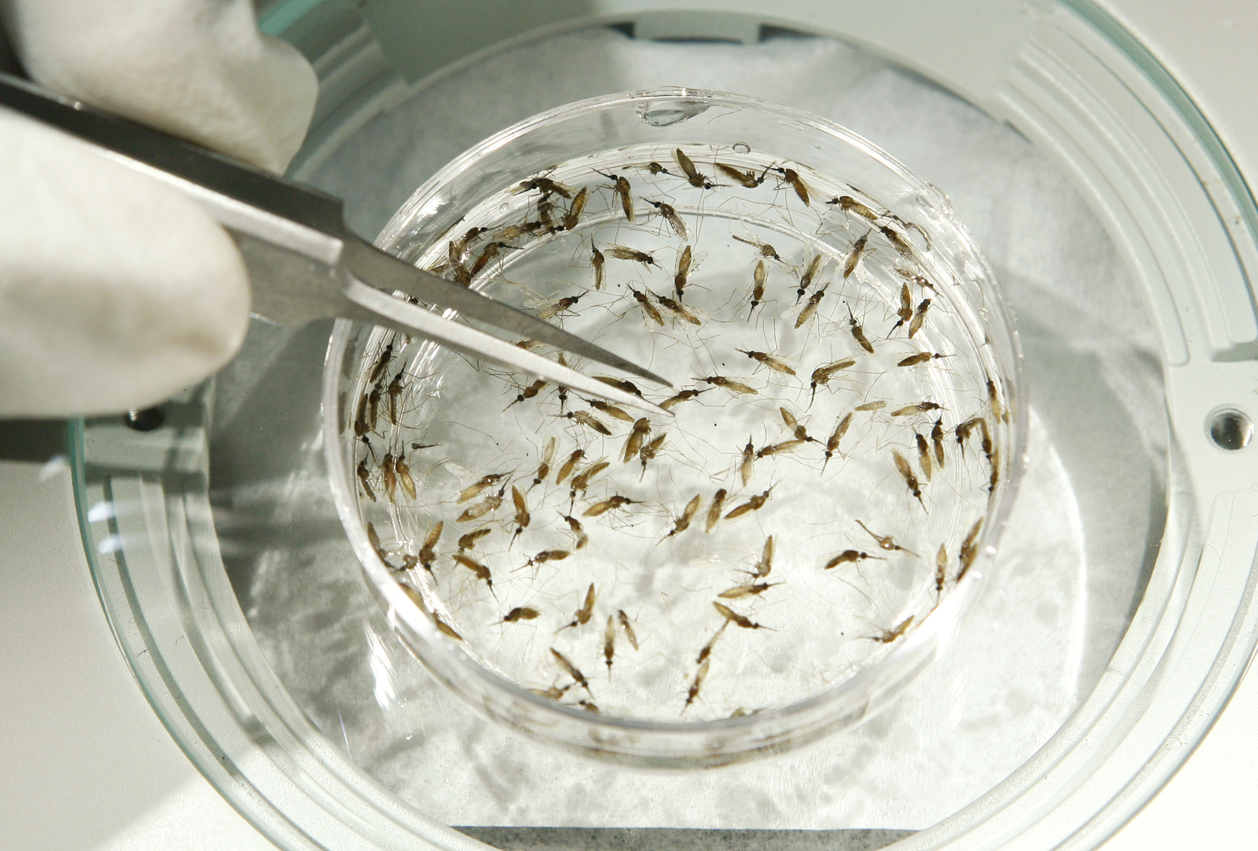 Mosquitoes in a petri dish, as the WHO approves a malaria vaccine.