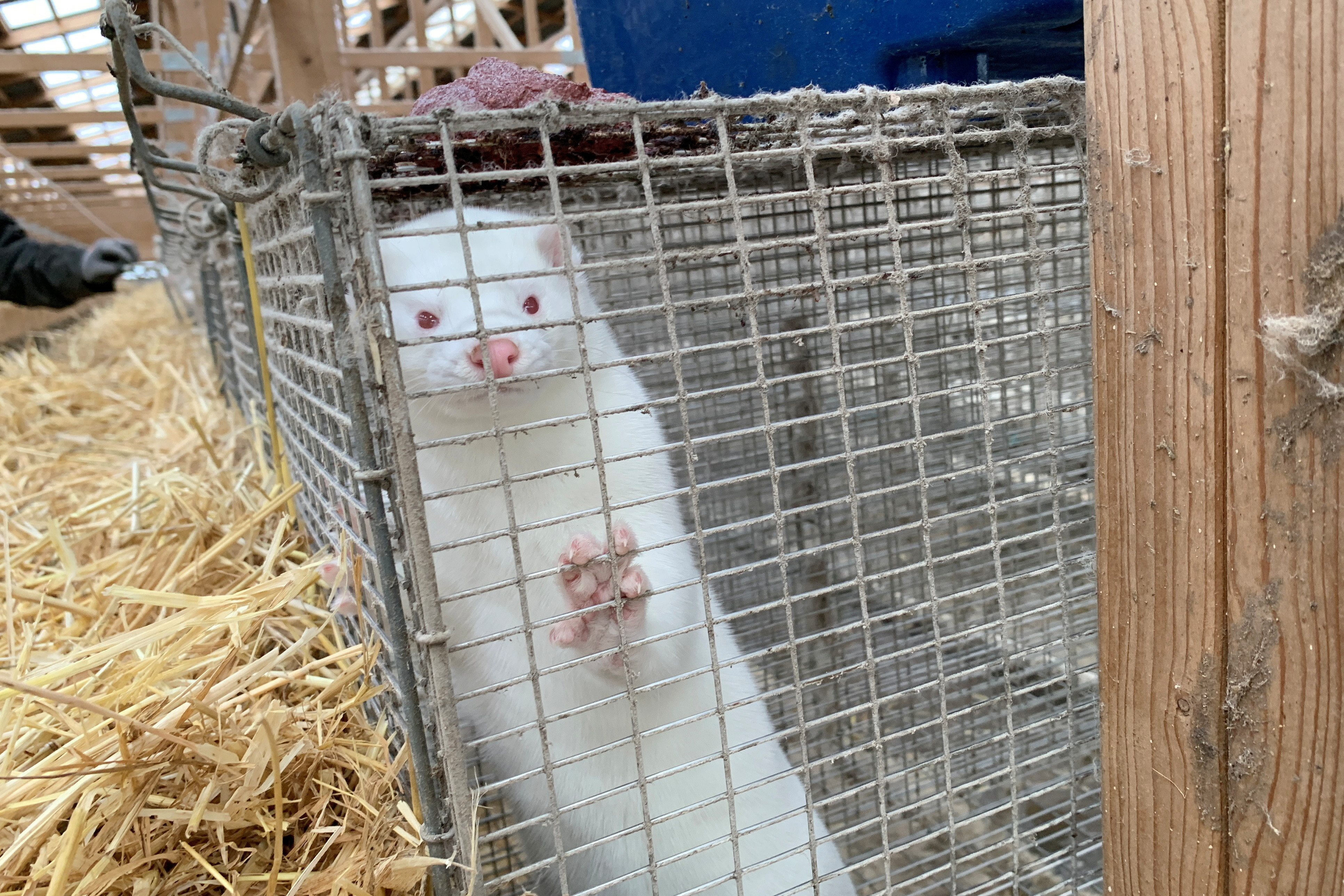 A mink is seen at Hans Henrik Jeppesen's farm near Soroe, after government's decision to cull his entire herd due to coronavirus disease (COVID-19), Denmark November 5, 2020. REUTERS/Jacob Gronholt-Pedersen - RC23XJ9714ZJ