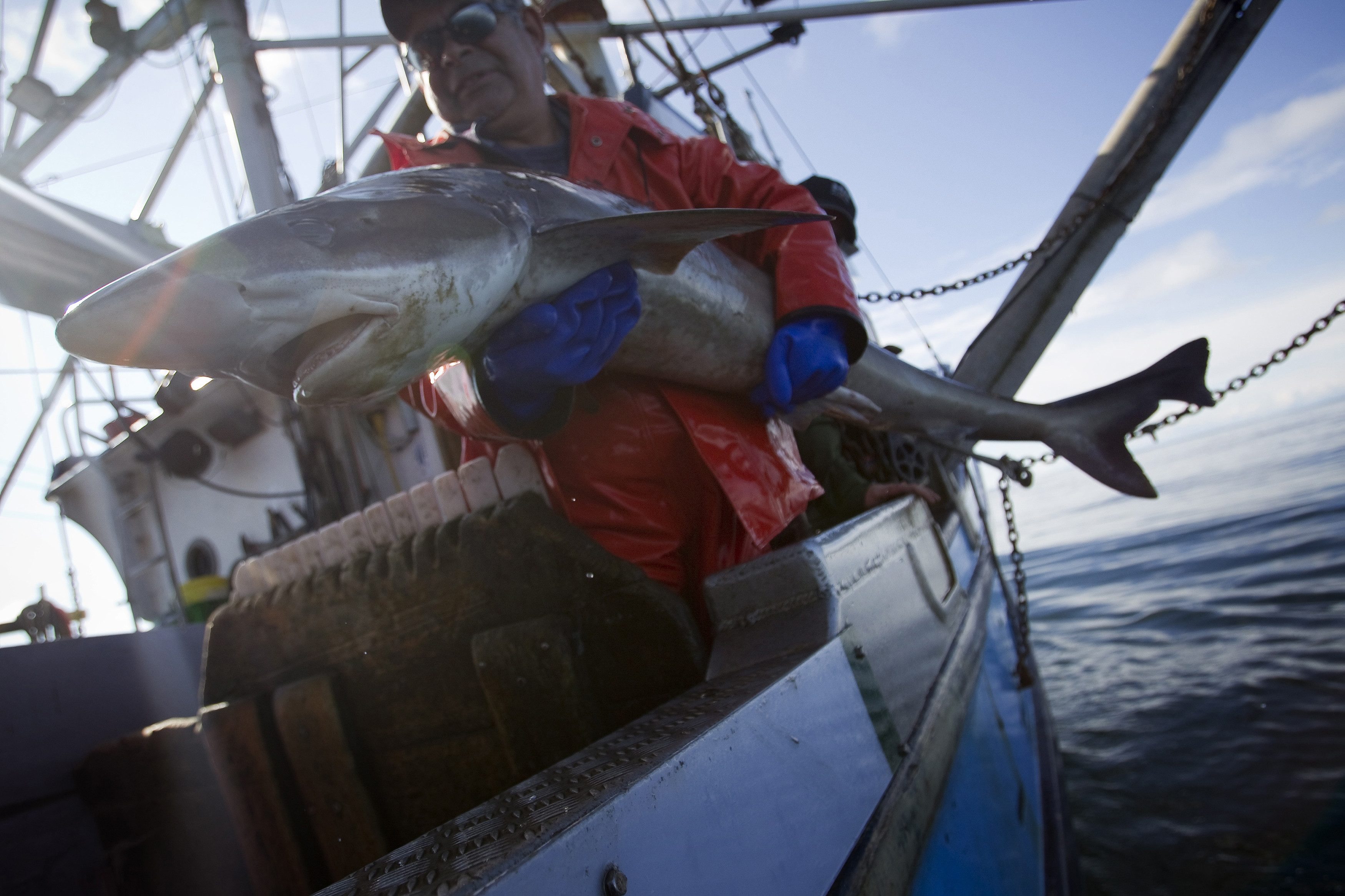 Jon Planes holds a large soupfin shark aboard the Ocean Sunset in the Pacific Ocean off of Ucluelet, British Columbia June 24, 2012. The Ocean Sunset is a commercial fishing boat that hunts sharks as well as other fish for their meat and fins. After the fishermen catch them, dogfish sharks are sent to a processing plant, the fins are removed and the body is skinned. The bellies are exported to Germany to be smoked for pub food, and the fins are sent to Asia, where they are used in shark fin soup - a delicacy in Chinese culture. Animal rights advocates criticise the shark fin harvest but others say that eating shark fins is an old cultural tradition. Picture taken June 24, 2012 REUTERS/Ben Nelms (CANADA - Tags: ENVIRONMENT ANIMALS FOOD SOCIETY TPX IMAGES OF THE DAY)ATTENTION EDITORS: PICTURE 8 OF 22 FOR PACKAGE 'CANADA'S SHARK FIN SOUP'Search 'shark fin' for all images - GM1E8C618KX01