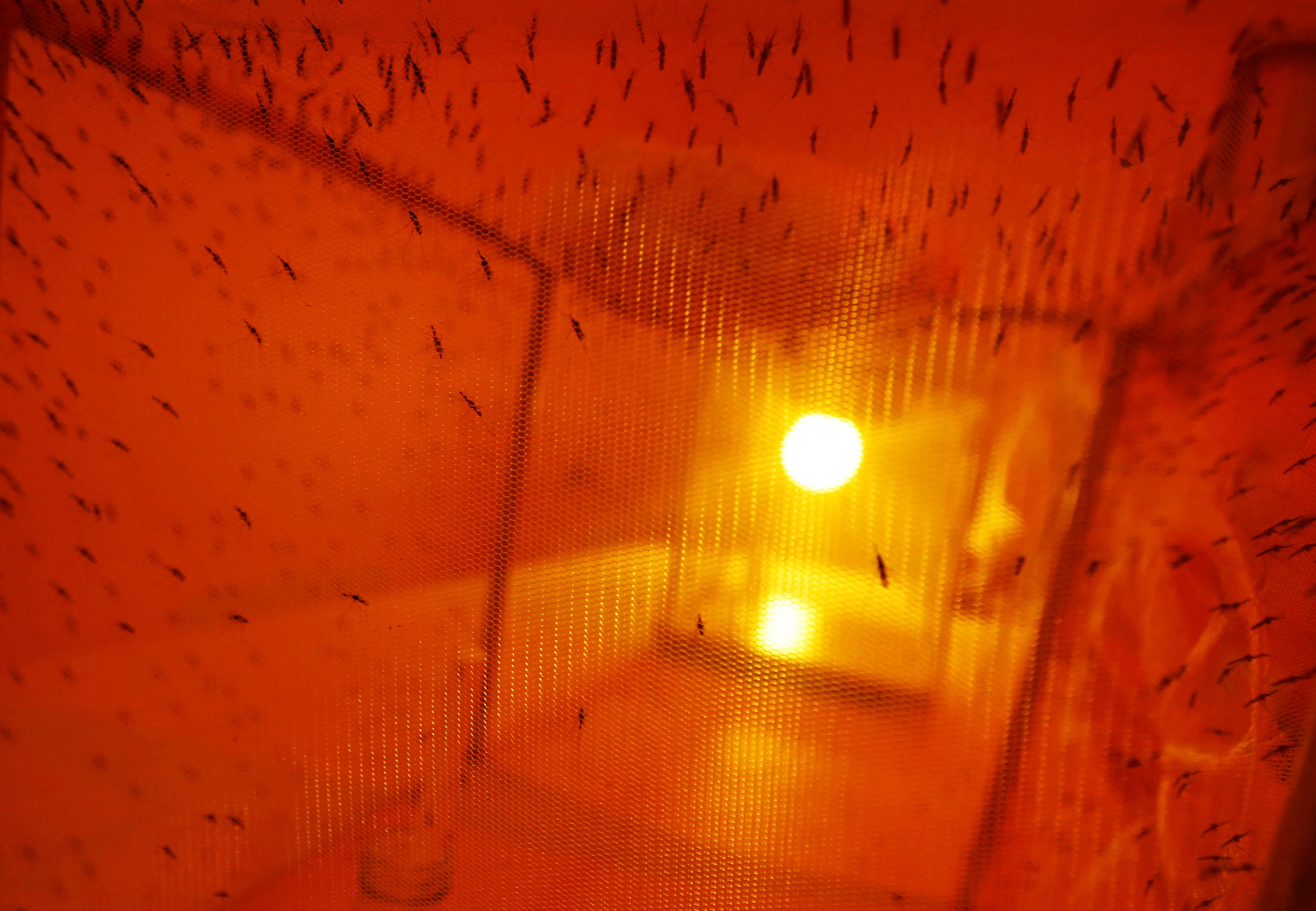 Mosquitoes used for research are seen inside a laboratory at the International Centre of Insect Physiology and Ecology (ICIPE) headquarters in Nairobi, Kenya May 11, 2020. Picture taken May 11, 2020. REUTERS/Jackson Njehia - RC22RG948W07