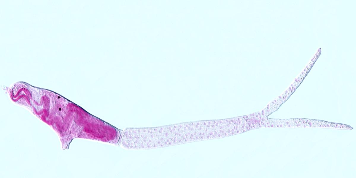 Cercariae Trichobilharzia szidati, the microscopic parasite that causes bilharzia (schistosomiasis)
