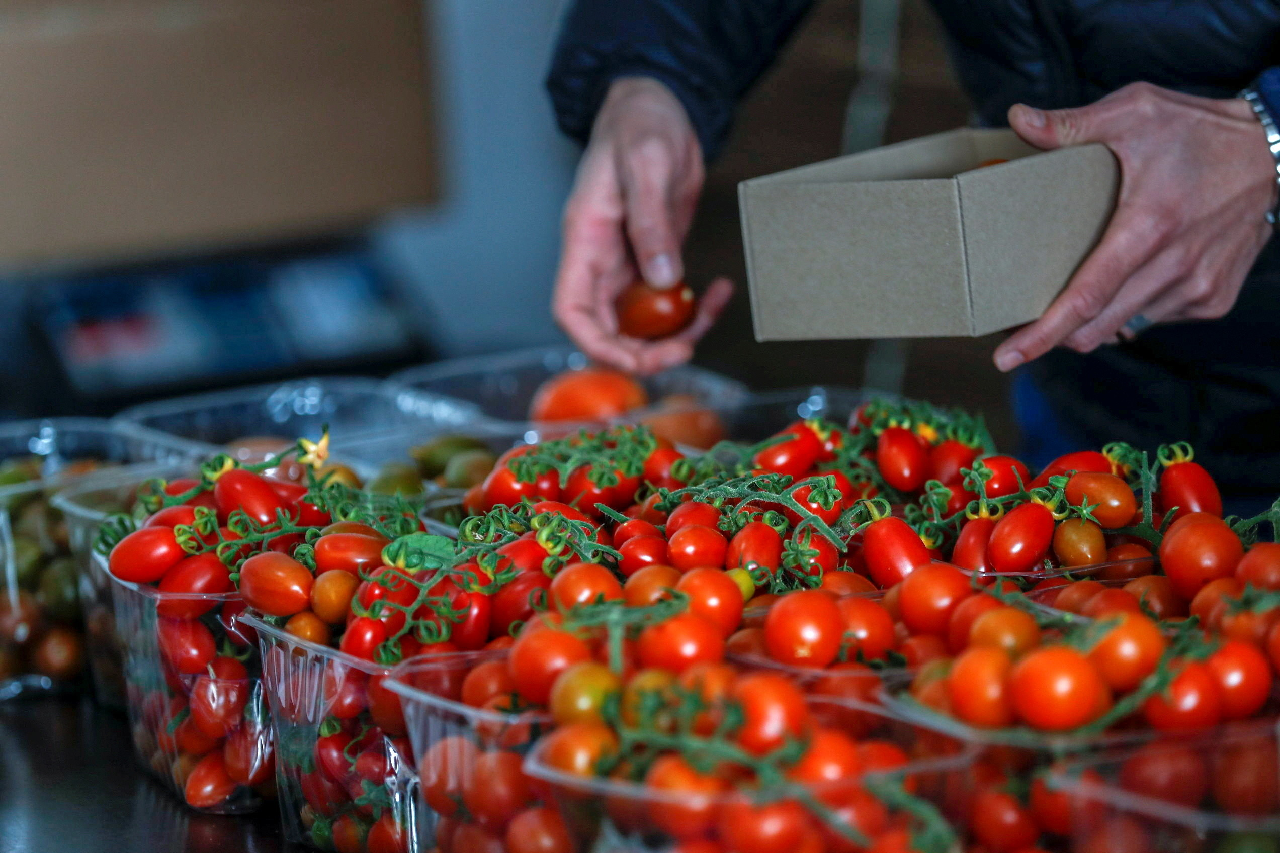 A Palestinian man packages tomatoes which Palestinian entrepreneurs market online and deliver to customers, in Ramallah in the Israeli-occupied West Bank March 4, 2021. Picture taken March 4, 2021.  REUTERS/Mohamad Torokman - RC298M9GRN20