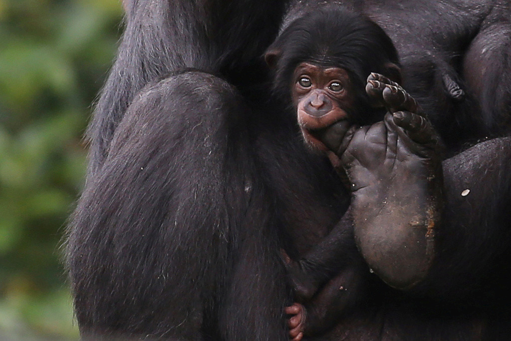 A newborn chimpanzee baby holds its mother's toe with the mouth at the Sao Paulo Zoo
