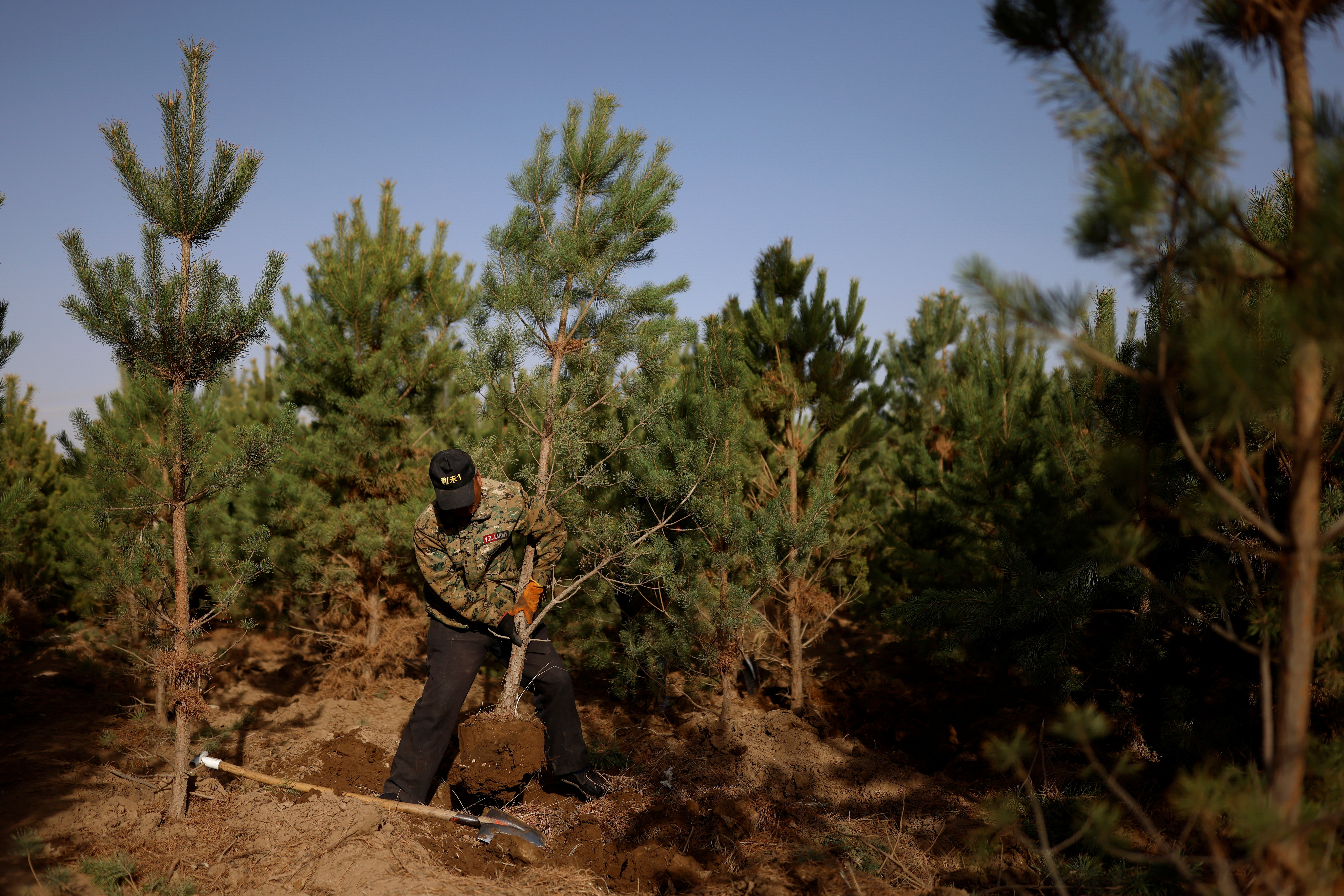 """A worker lifts a tree from the ground at the Toudunying state-owned commercial forest estate in a village near the edge of the Gobi desert, on the outskirts of Wuwei, Gansu province, China, April 16, 2021. Over the last four decades, the Three-North Shelter Forest Programme tree-planting scheme, known colloquially as the """"Great Green Wall"""", has helped raise total forest coverage to nearly a quarter of China's total area, up from less than 10% in 1949. In Hongshui trees have become a major part of the local economy and the area is dominated by a large state-owned commercial forest estate called Toudunying."""
