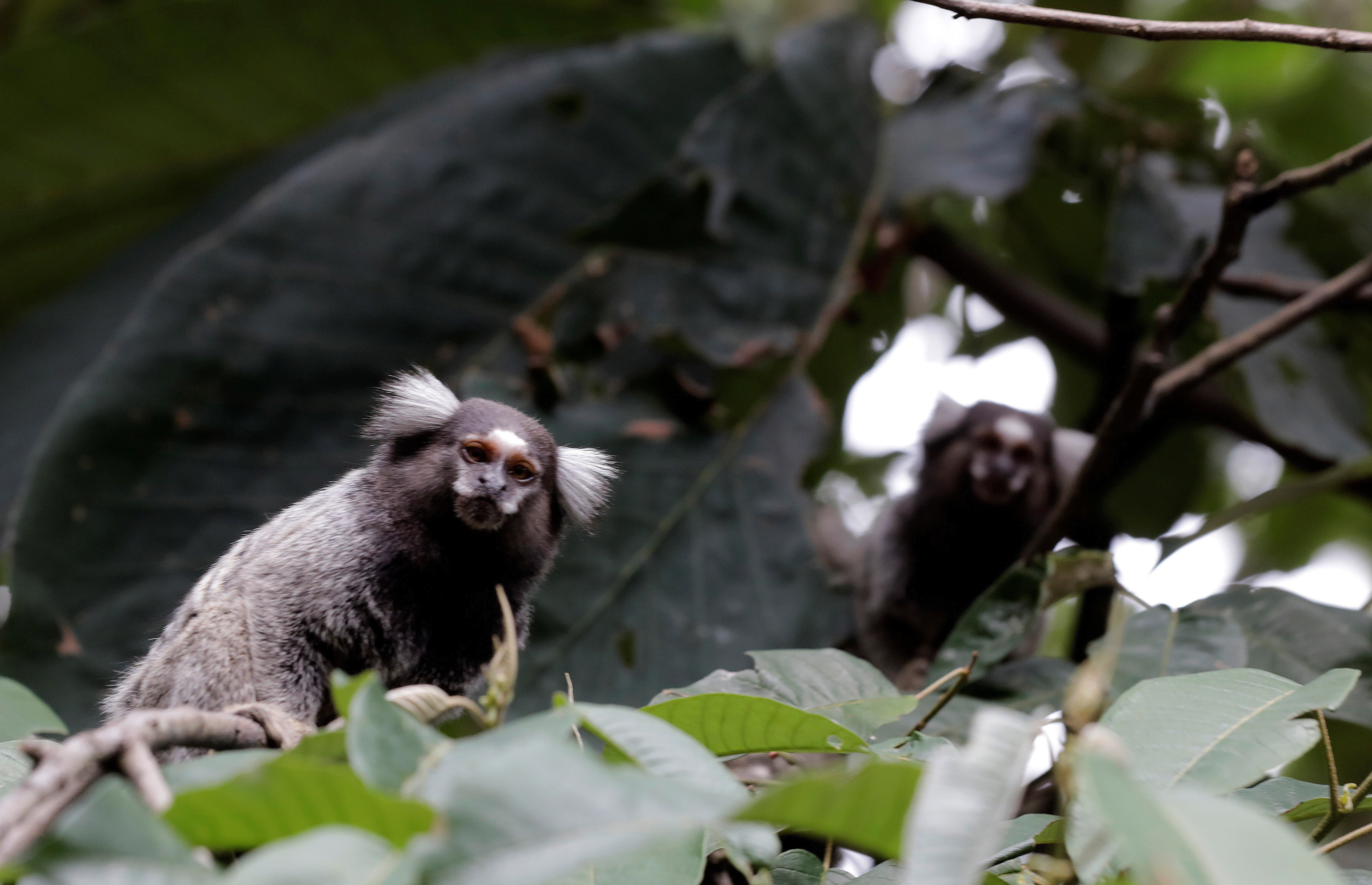 Callithrix monkeys are seen in an Atlantic forest area in Mairipora, Brazil showing how diverse the area is