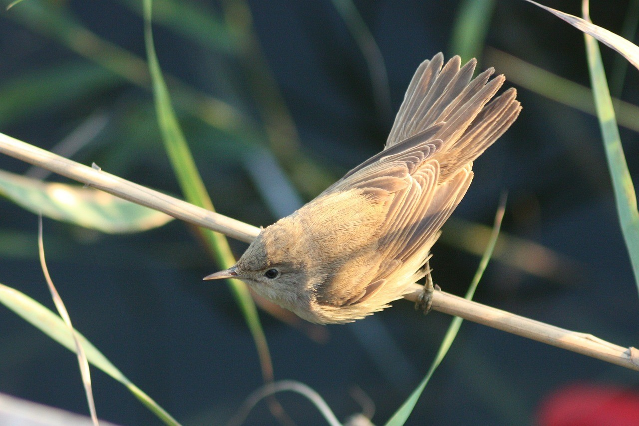 image of a Eurasian reed warbler