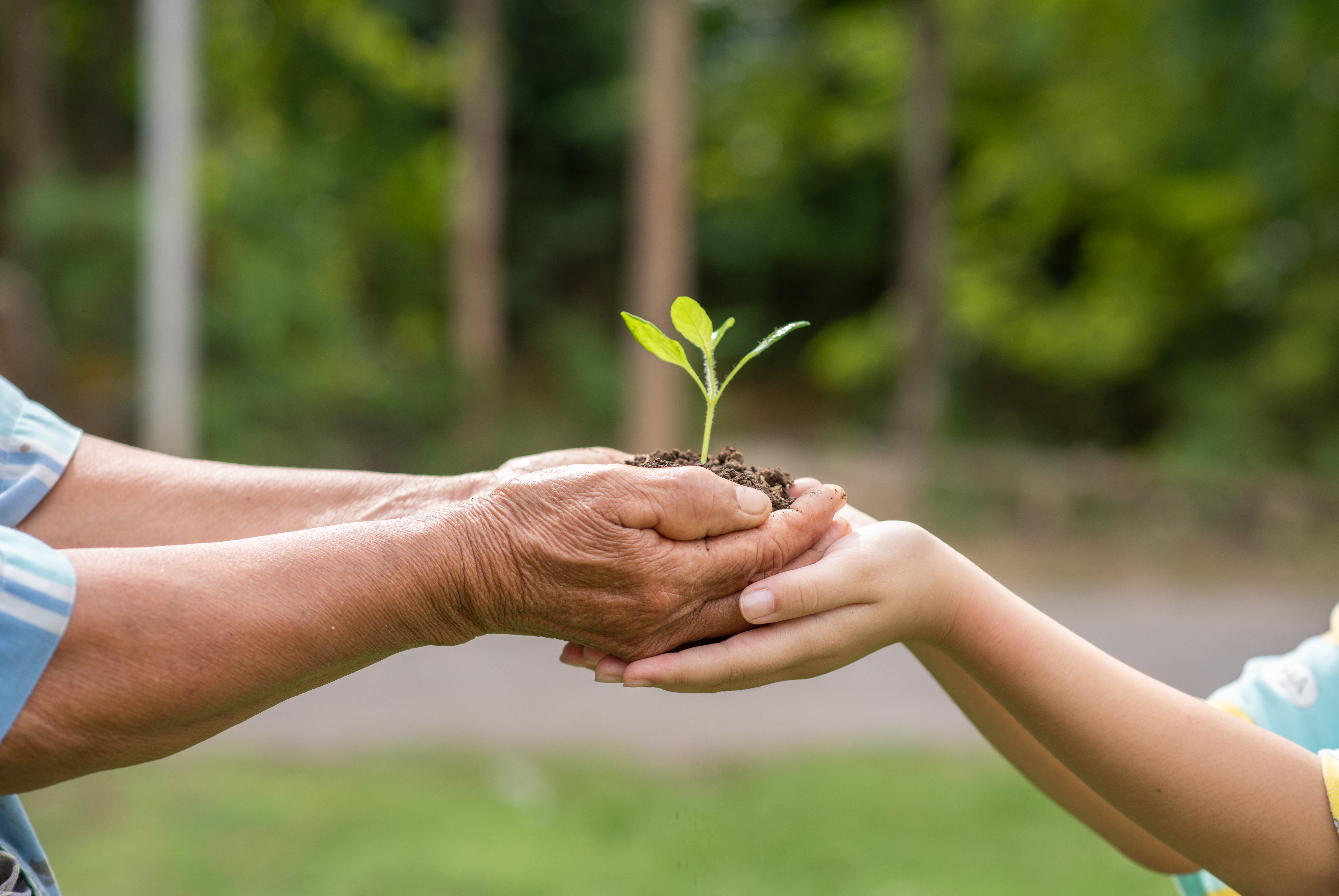 A small tree growing with soil forwarded or delivered between the hands of the elderly and children with the green forest background. Showed the care for the environment with sustainable development.