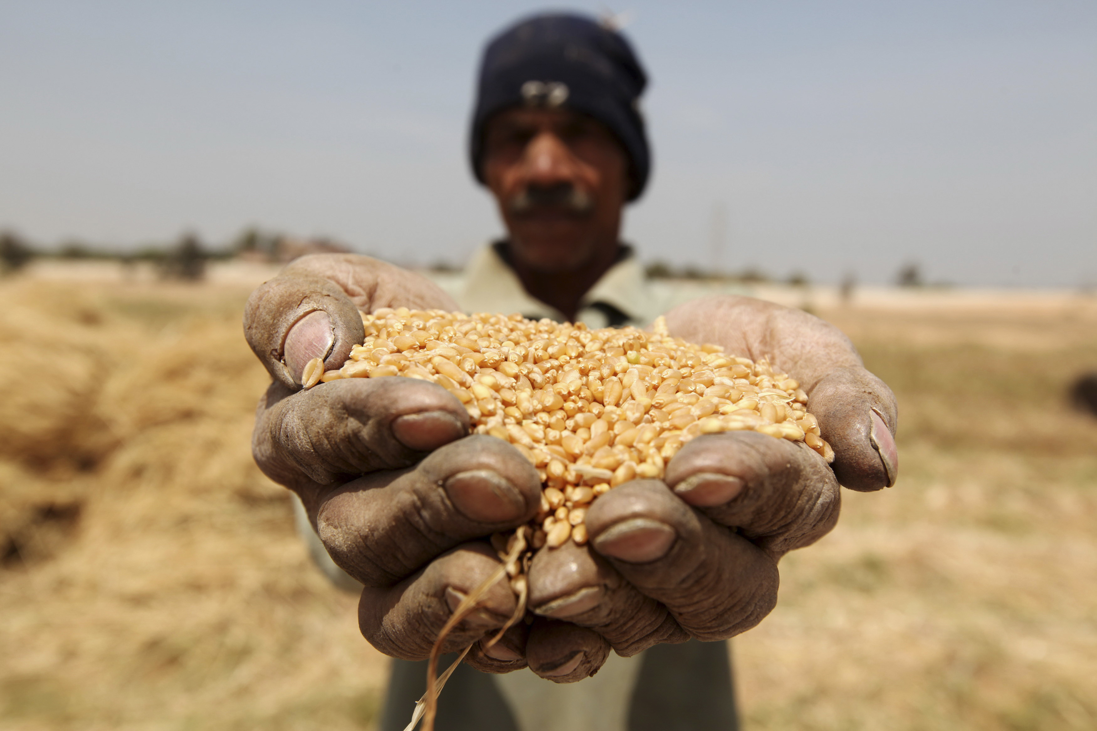 A farmer holds out grains of wheat in his hands during a harvest on a field in the El-Menoufia governorate, about 9.94 km (58 miles) north of Cairo April 23, 2013. Egypt's wheat crop will be close to 10 million tonnes this season, agriculture minister Salah Abdel Momen said on Sunday as the harvest gets underway, more than the supply minister's 9.5 million tonne forecast. Picture taken April 23, 2013. REUTERS/Mohamed Abd El Ghany (EGYPT - Tags: AGRICULTURE BUSINESS COMMODITIES) - GM1E94O1Q1D01