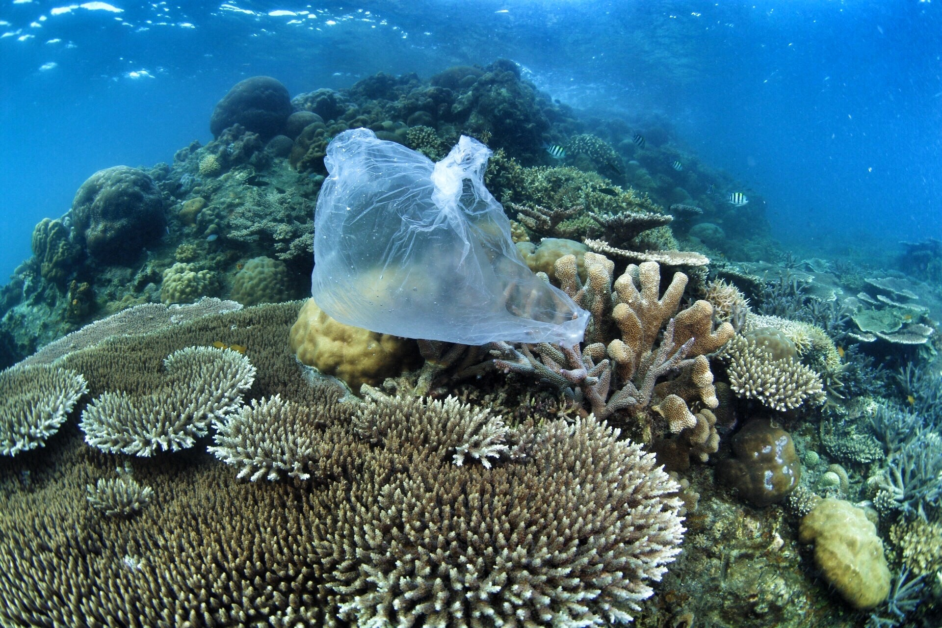 A plastic bag floating underwater surrounded by plant life and fish; Ocean, plastic waste, underwater, fish.