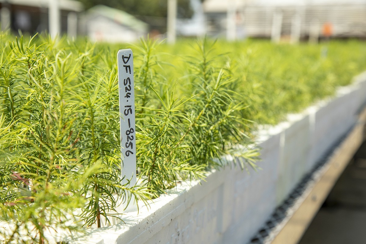 image of a Douglas Fur seedlings growing in the shade house of the L A Moran Reforestation Center