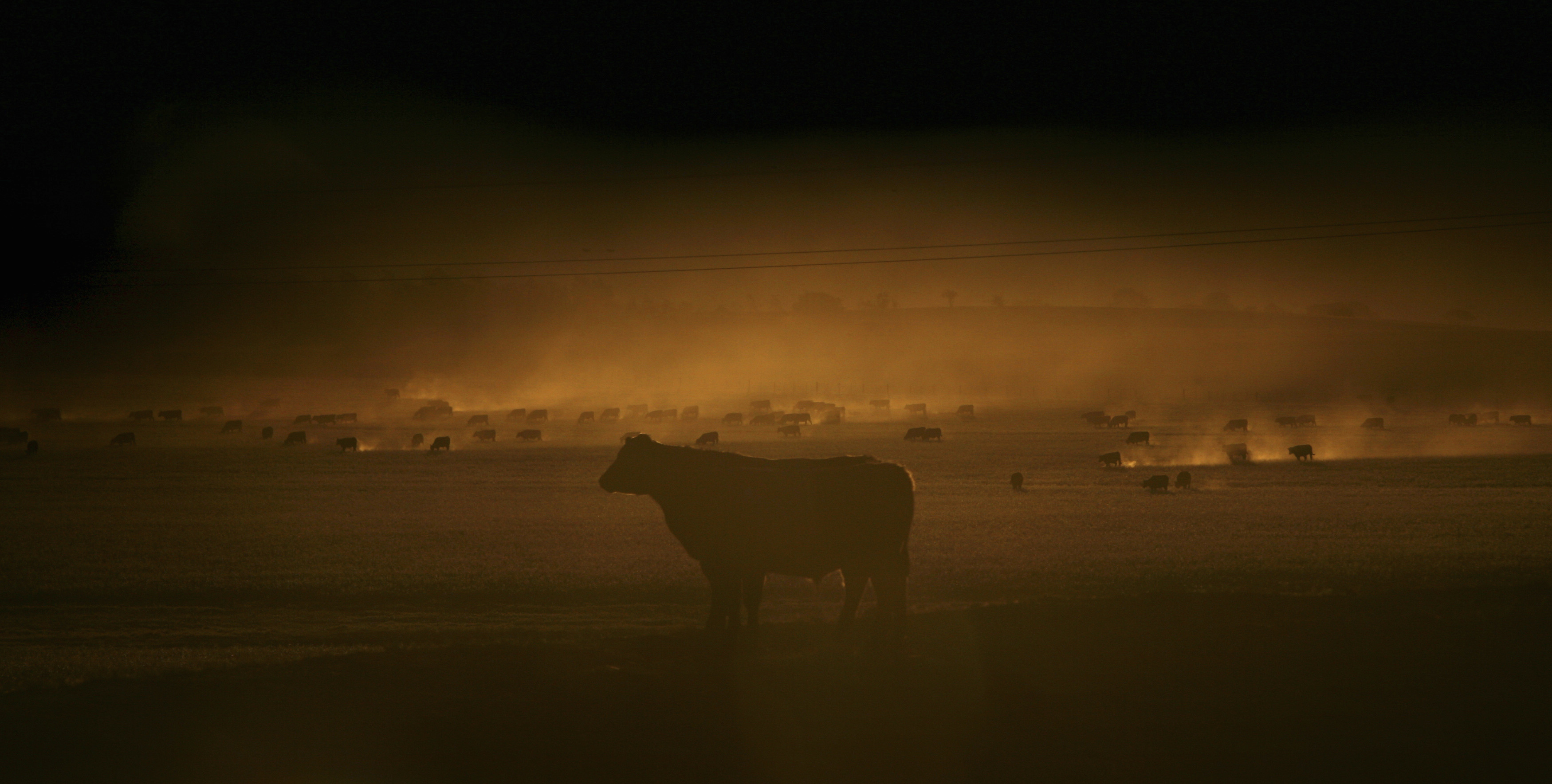 Grazing cattle raise a cloud of dust as they scratch for food on a drought affected farm near Goulburn, about 170 km (105 miles) south-west of Sydney October 29, 2006. The drought, said by some experts to be Australia's worst ever, has taken the political centre stage in recent days as forecasters slash outlooks for agricultural production.   Picture was taken through a car window during a dust storm.          REUTERS/Tim Wimborne    (AUSTRALIA) - GM1DTVBWWSAA