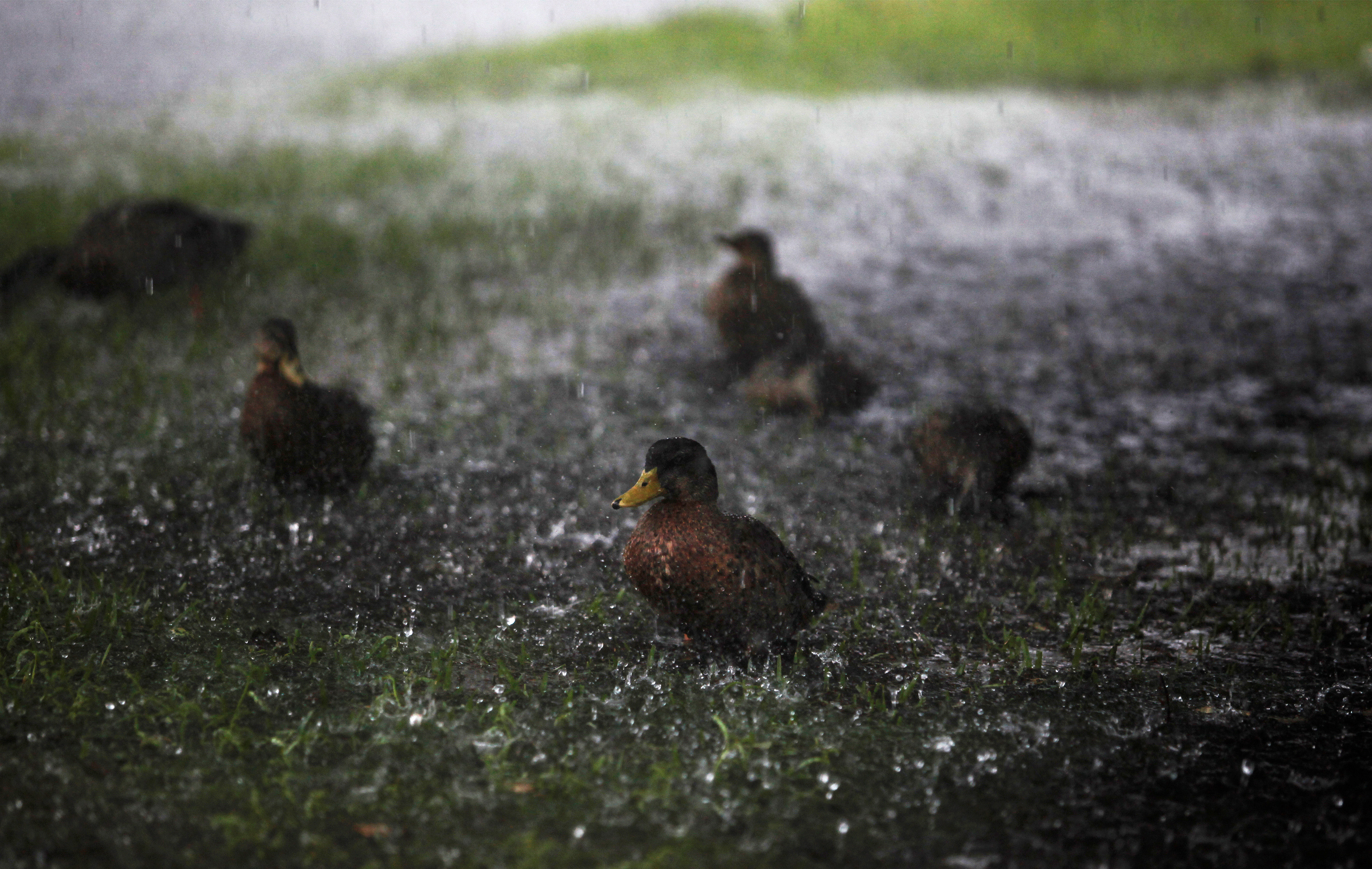 Ducks are splashed by the heavy rains of a Tropical Storm. REUTERS/Randall Hill