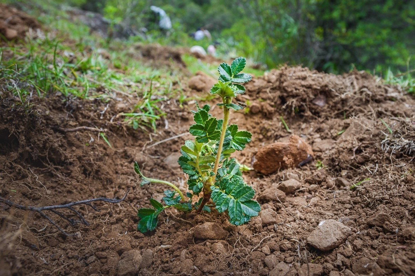 A Polylepis seedling taking root in the soil of the Peruvian Andes.