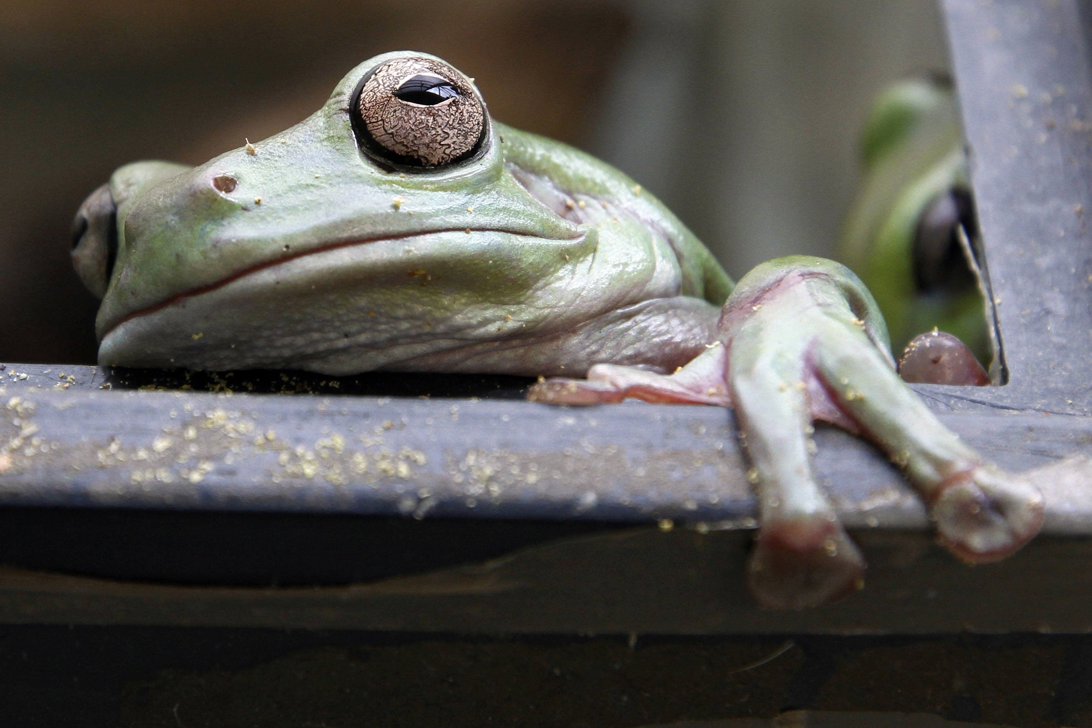 A Mexican Leaf frog