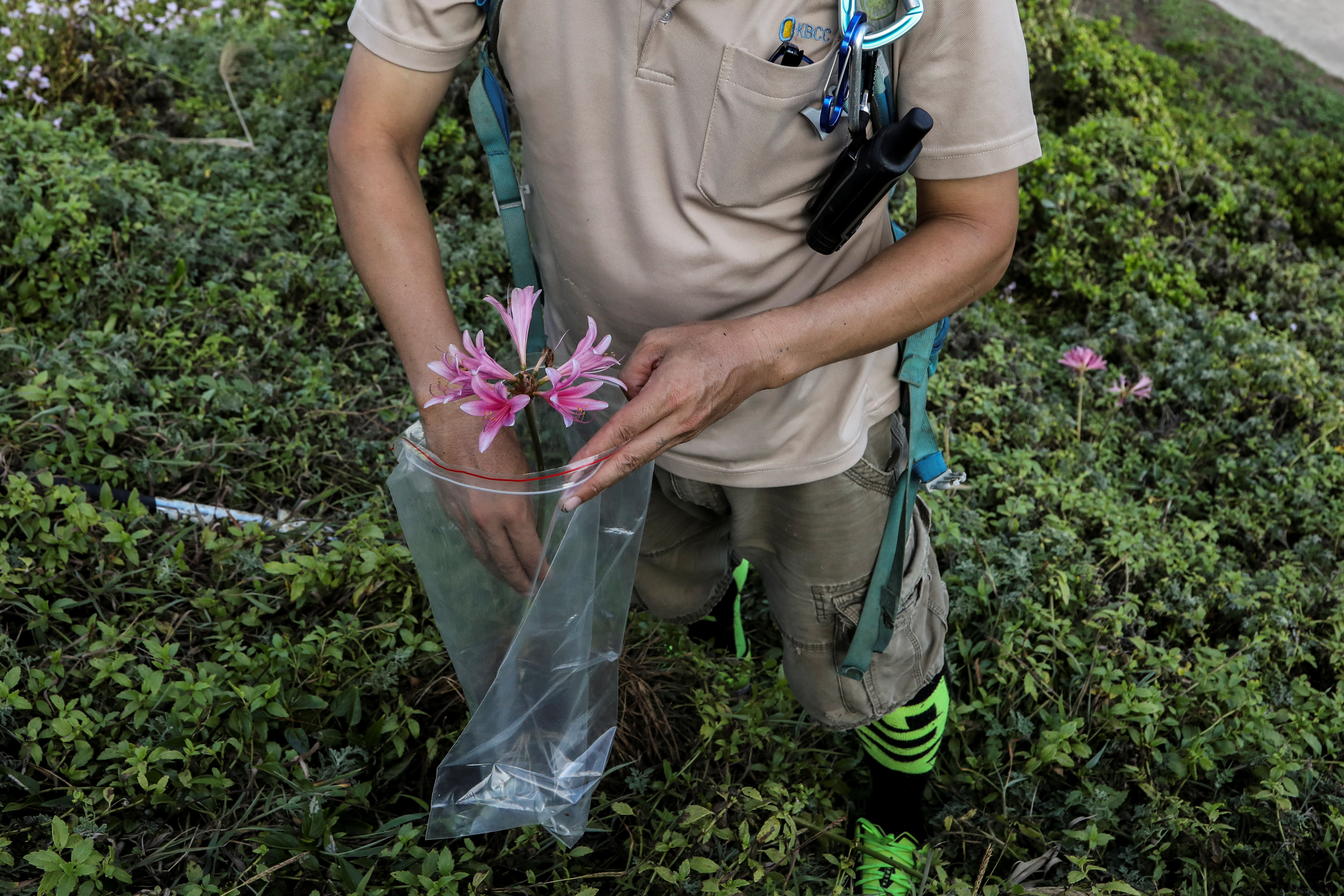 """Hung Hsin-Chieh, a research assistant at Dr. Cecilia Koo Botanic Conservation Center, collects Lycoris sprengeri, a type of flower, in Dongyin, Matsu, Taiwan, August 17, 2020. REUTERS/Ann Wang     SEARCH """"WANG RARE PLANTS"""" FOR THIS STORY. SEARCH """"WIDER IMAGE"""" FOR ALL STORIES - RC2W2J94CC6F"""