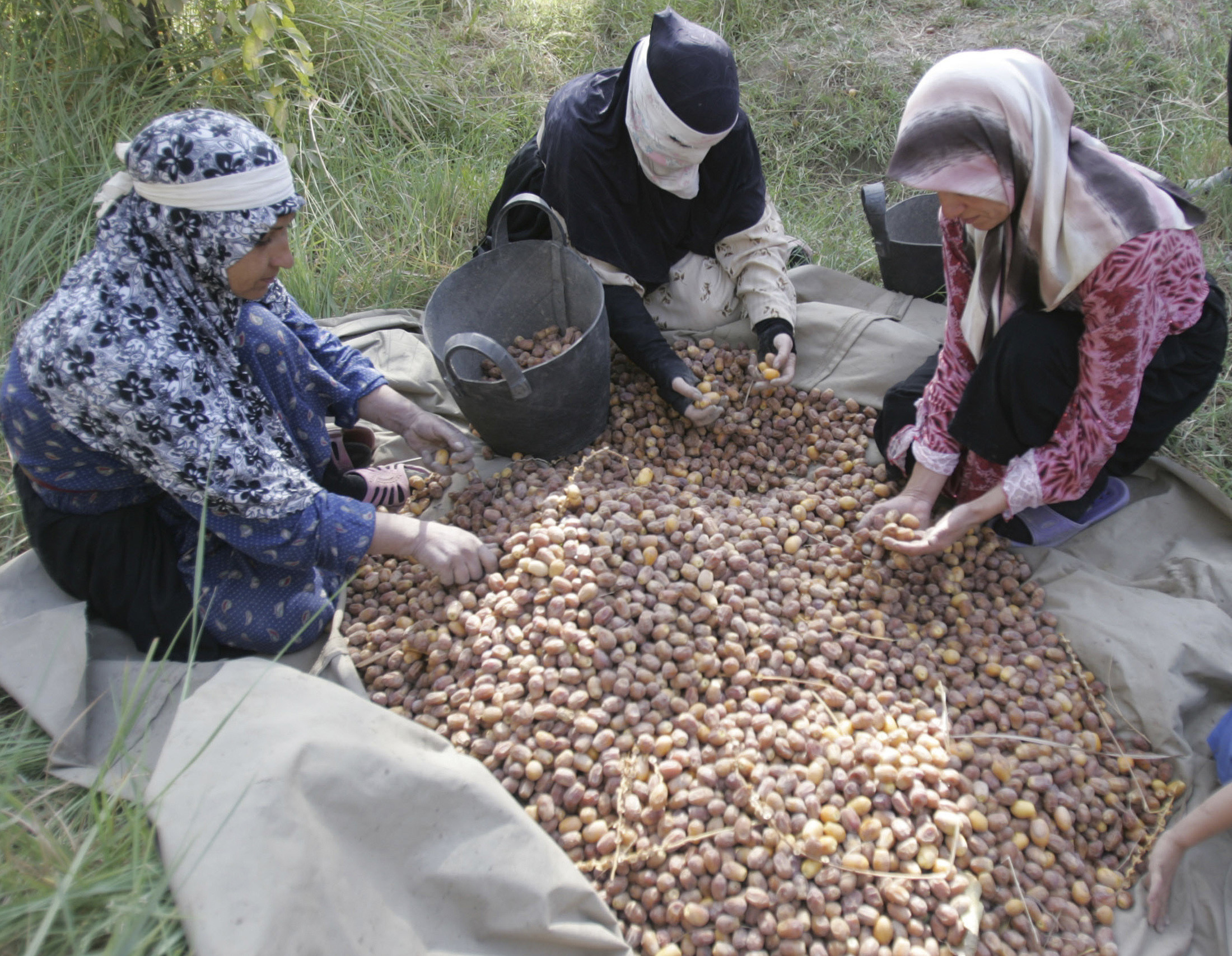 Villagers collect dates during a harvest in an orchard north of Kerbala, 80 km (50 miles) southwest of Baghdad, October 18, 2008. Picture taken October 18, 2008.    REUTERS/Mushtaq Muhammed (IRAQ) - GM1E4AK1AQ201