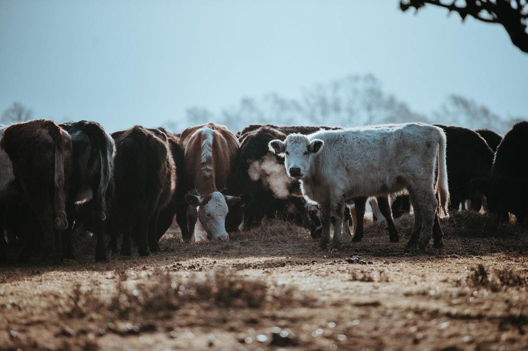 A herd of cows, with livestock being one of the largest contributors of methane.