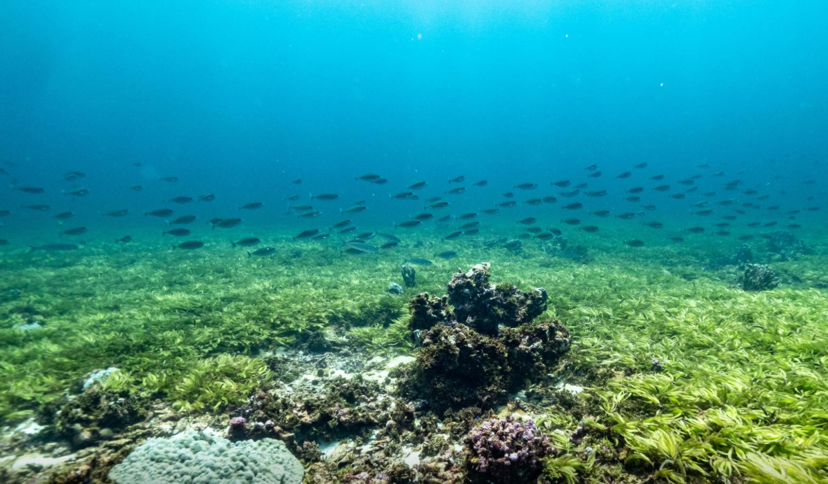 image of a shoal of fish swimming over seagrass at the Saya de Malha bank within the Mascarene plateau