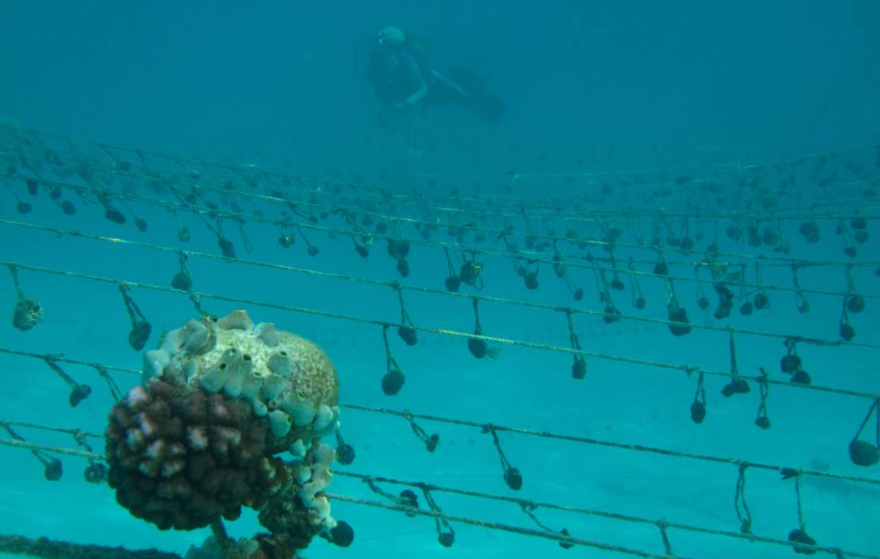 A scuba diver goes underwater to check up on the hanging sponge farm in Jambiani, Tanzania. September 9, 2015.