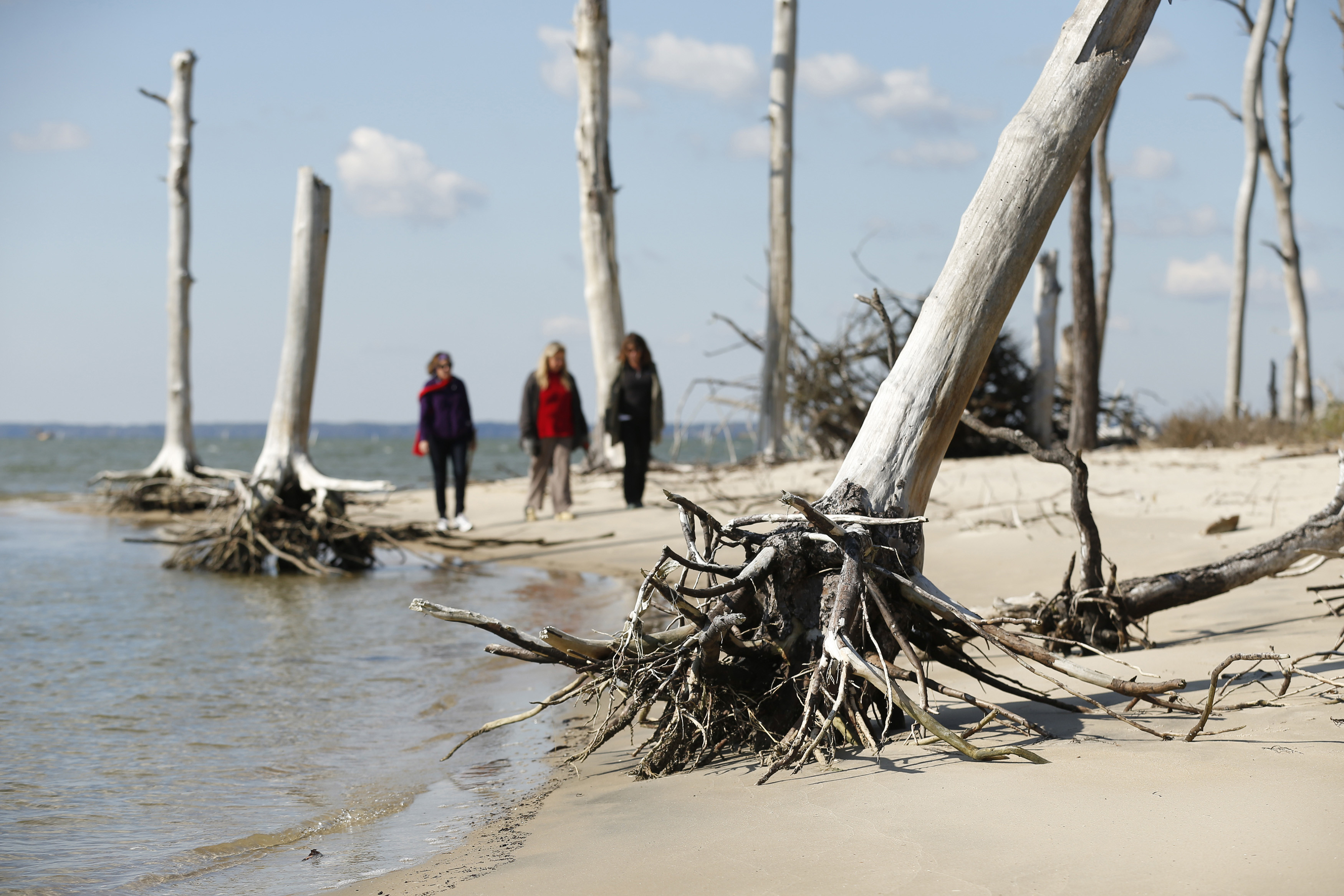 Women walk through a coastal ghost forest believed to be caused by sea level rise on Assateague Island in Virginia, October 25, 2013.