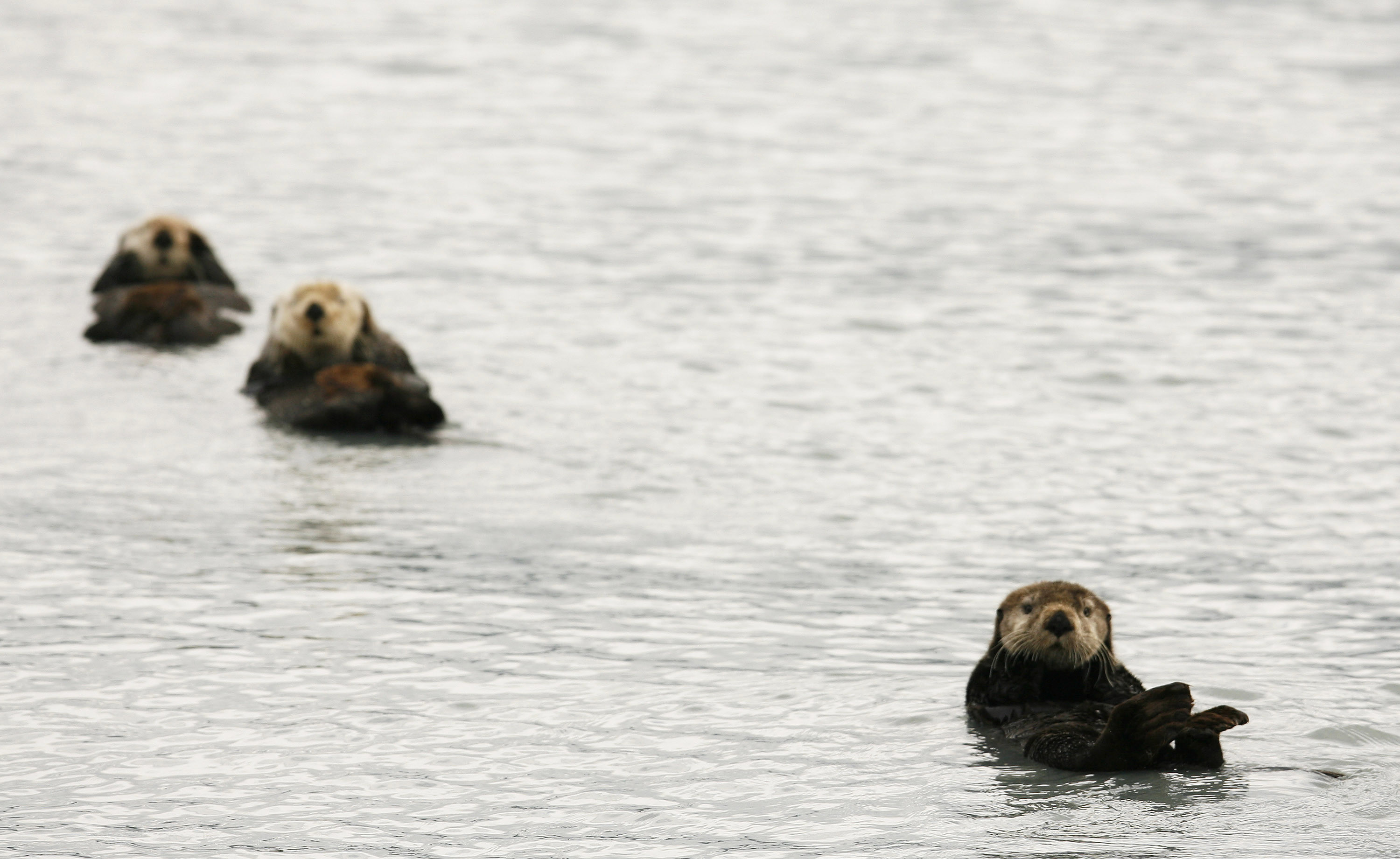 Sea otters float on their backs in the waters of Prince William Sound near the town of Valdez, Alaska