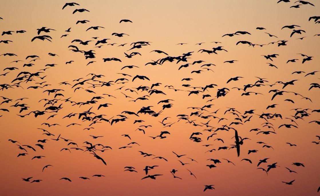 Migrating birds seen at dusk or dawn.