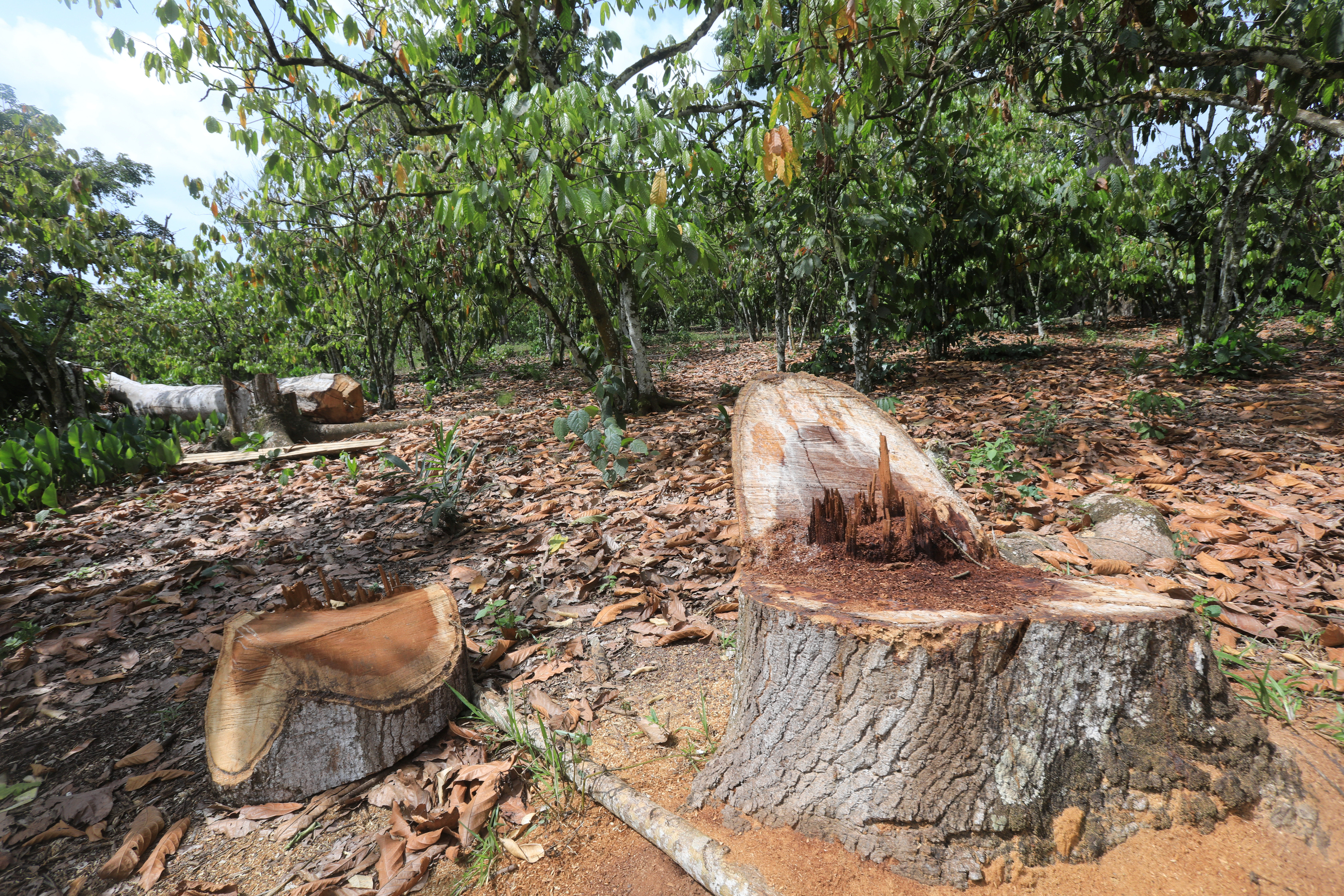 Felled tree is seen in the Rapides-Grah's classy forest where cocoa's illegal farmers used to live, in Soubre, Ivory Coast March 7, 2020. Picture taken March 7, 2020.