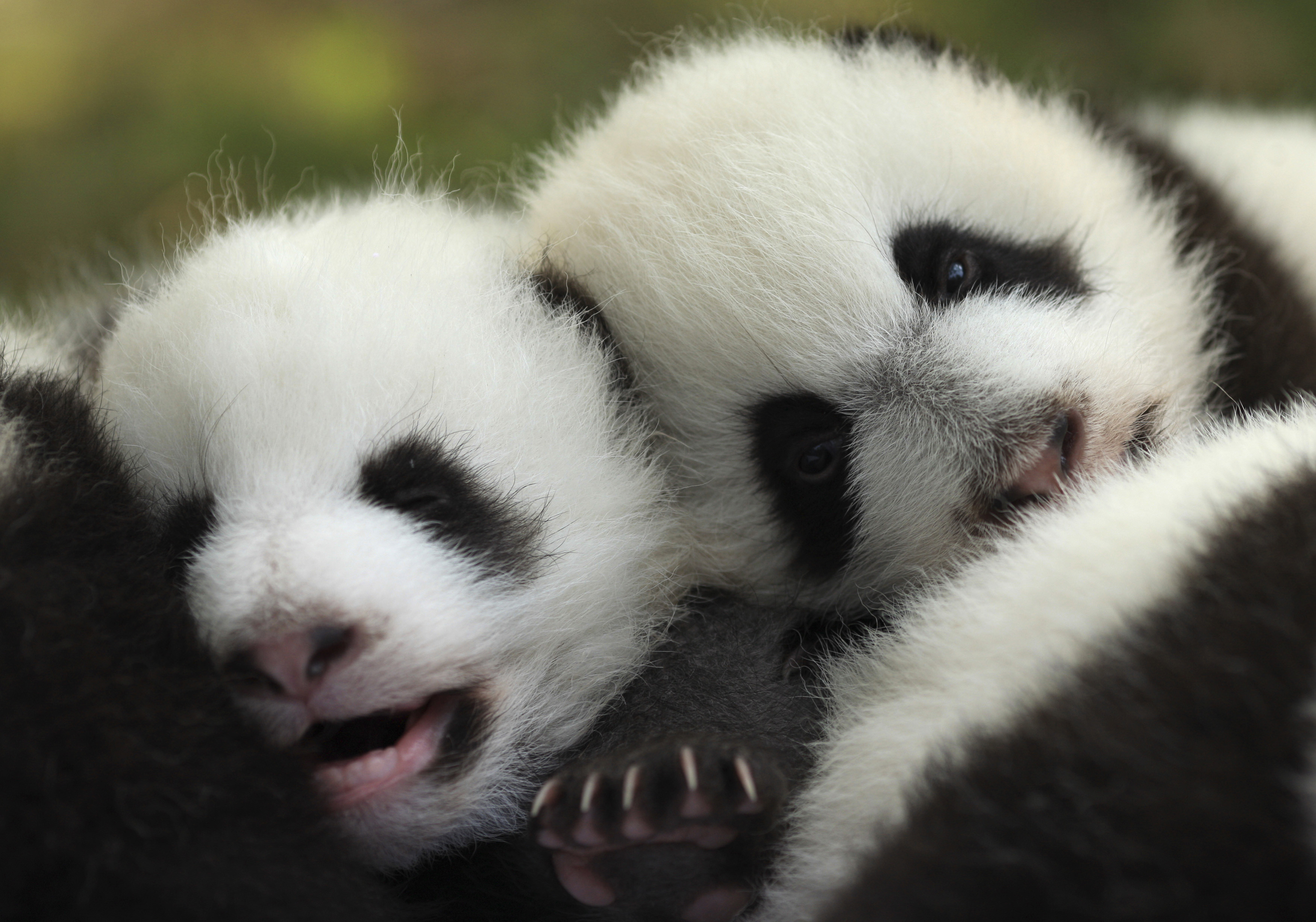 Giant-panda-no-longer-endangered-species