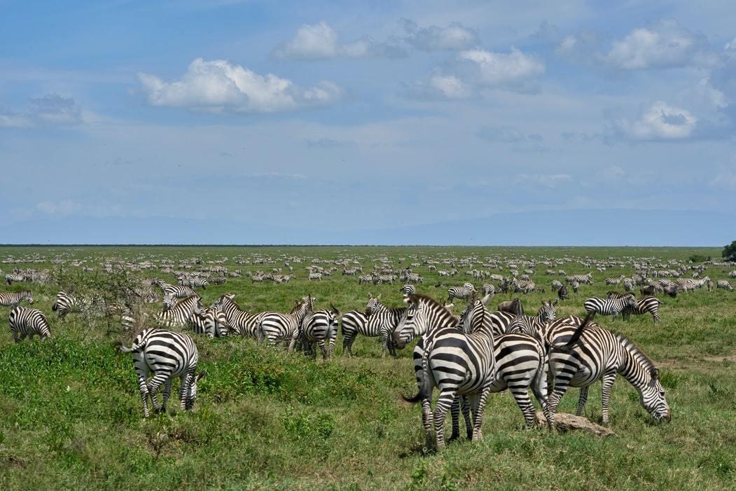 image of a herd of zebras