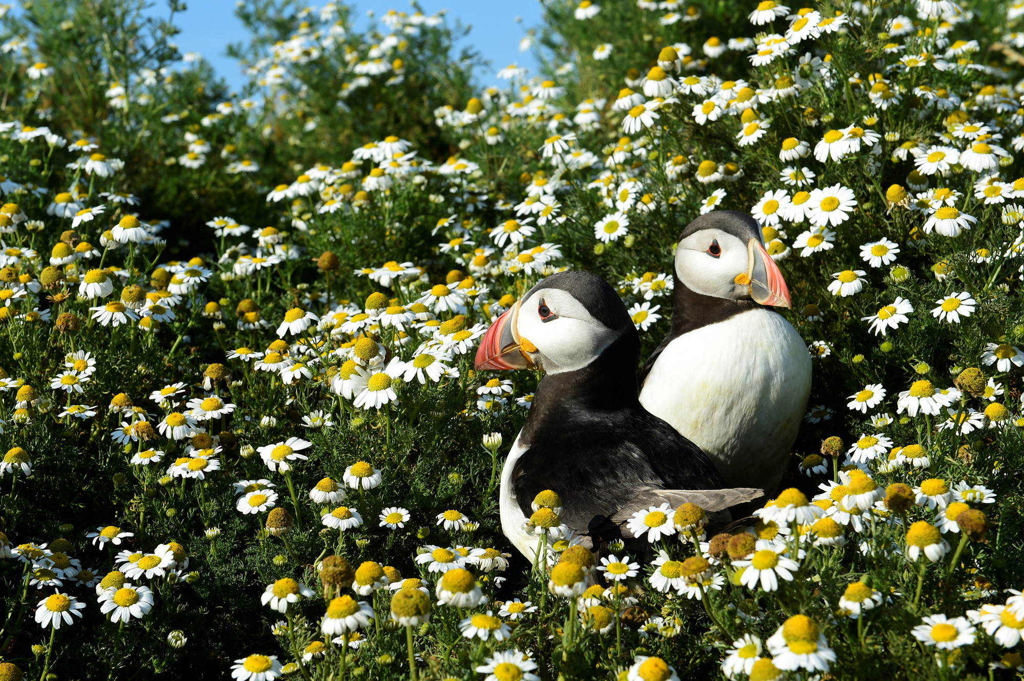Atlantic Puffins are seen among the daisies on Skomer Island, Pembrokeshire, Wales, Britain July 16, 2019. Picture taken July 16, 2019.  REUTERS/Rebecca Naden - RC16CFDA99C0