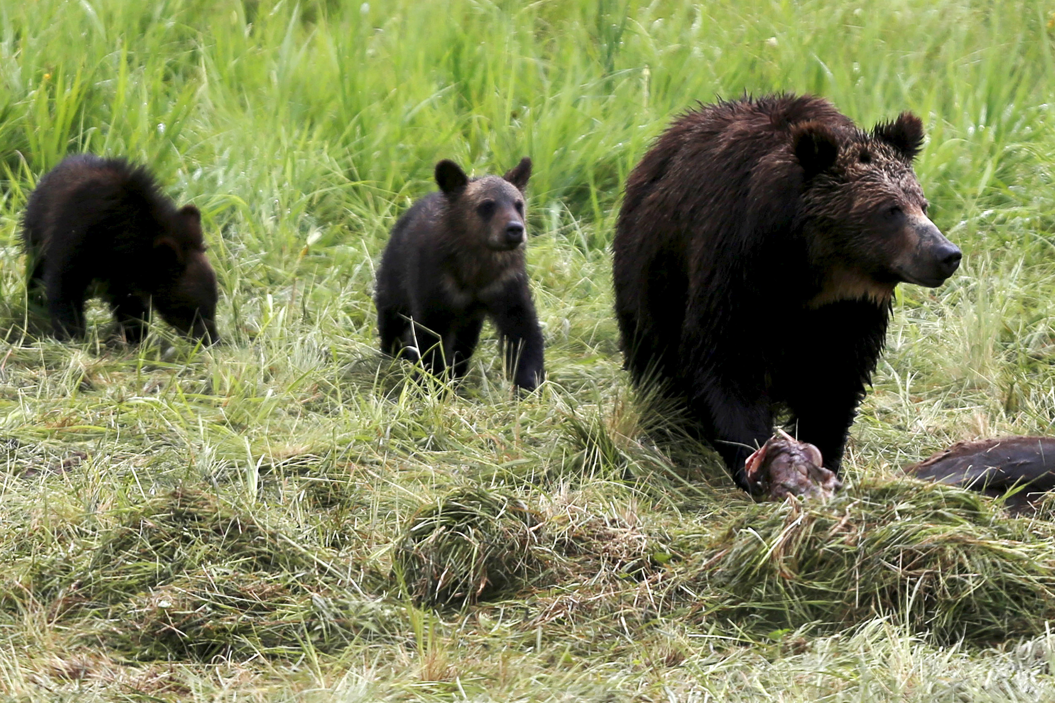 A grizzly bear and her two cubs approach the carcass of a bison in Yellowstone National Park in Wyoming, United States
