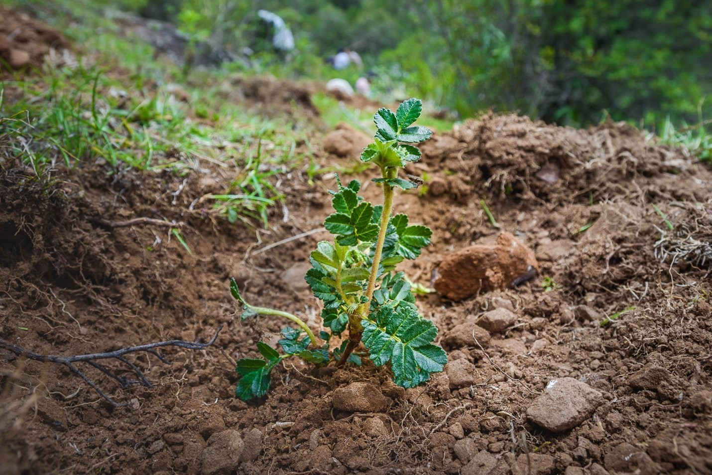 image of a Polylepis seedling taking root during Queuña Raymi