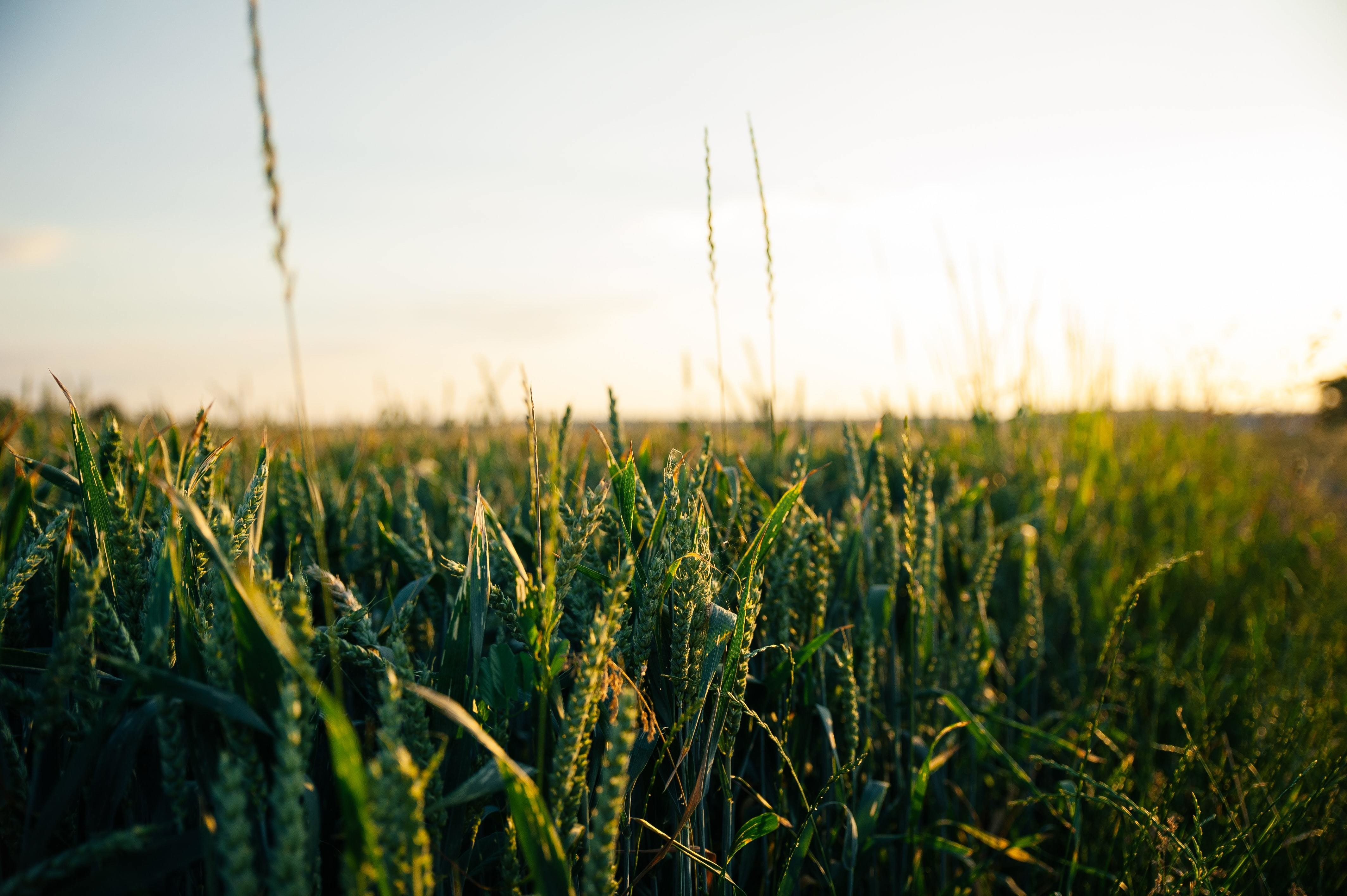 A new scientific substance can protect crops like these from drought, when applied to seeds.