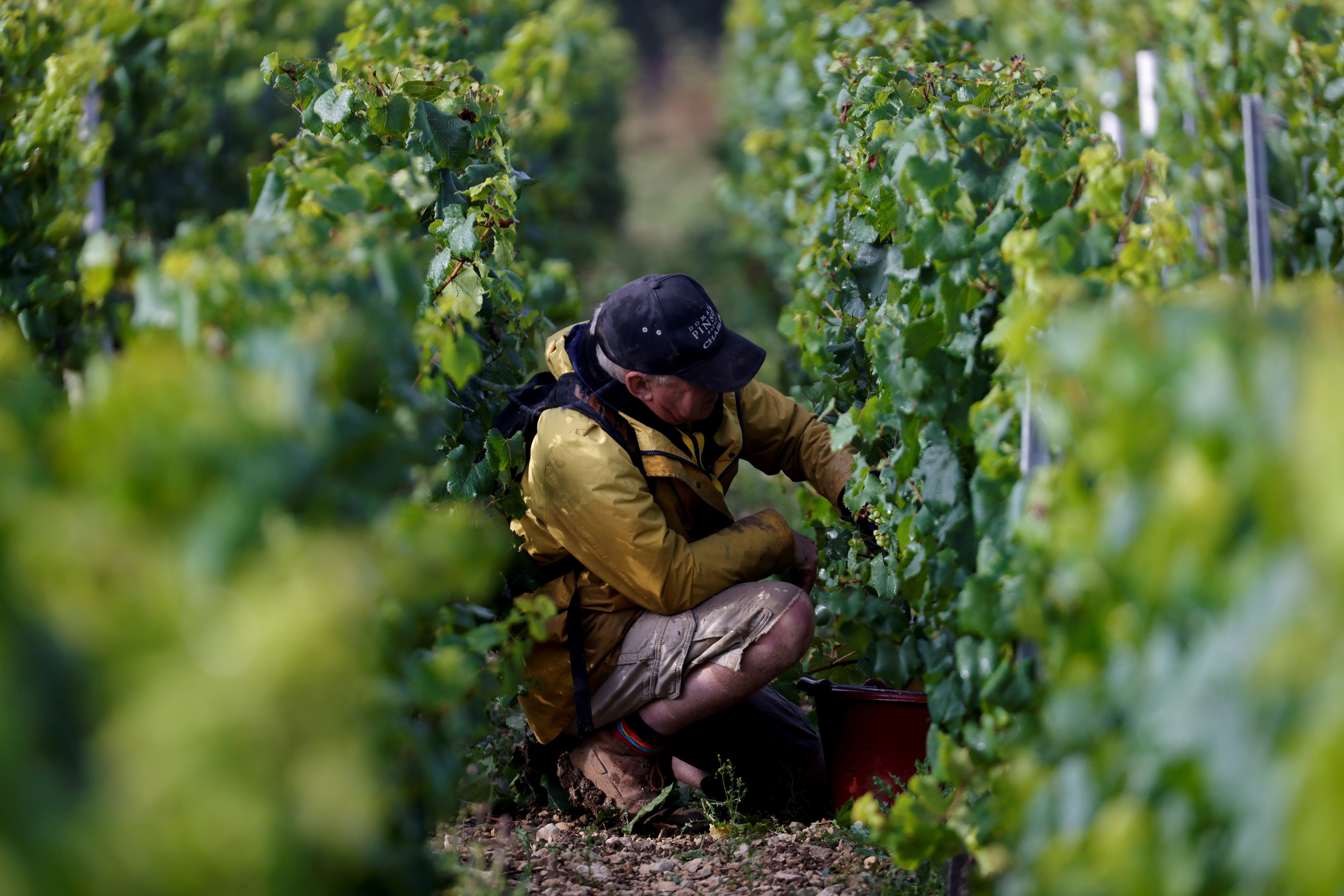 A worker harvests grapes in a vineyard.  REUTERS/Pascal Rossignol