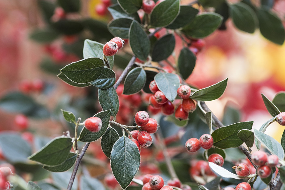 Cotoneaster franchetii environment pollution health