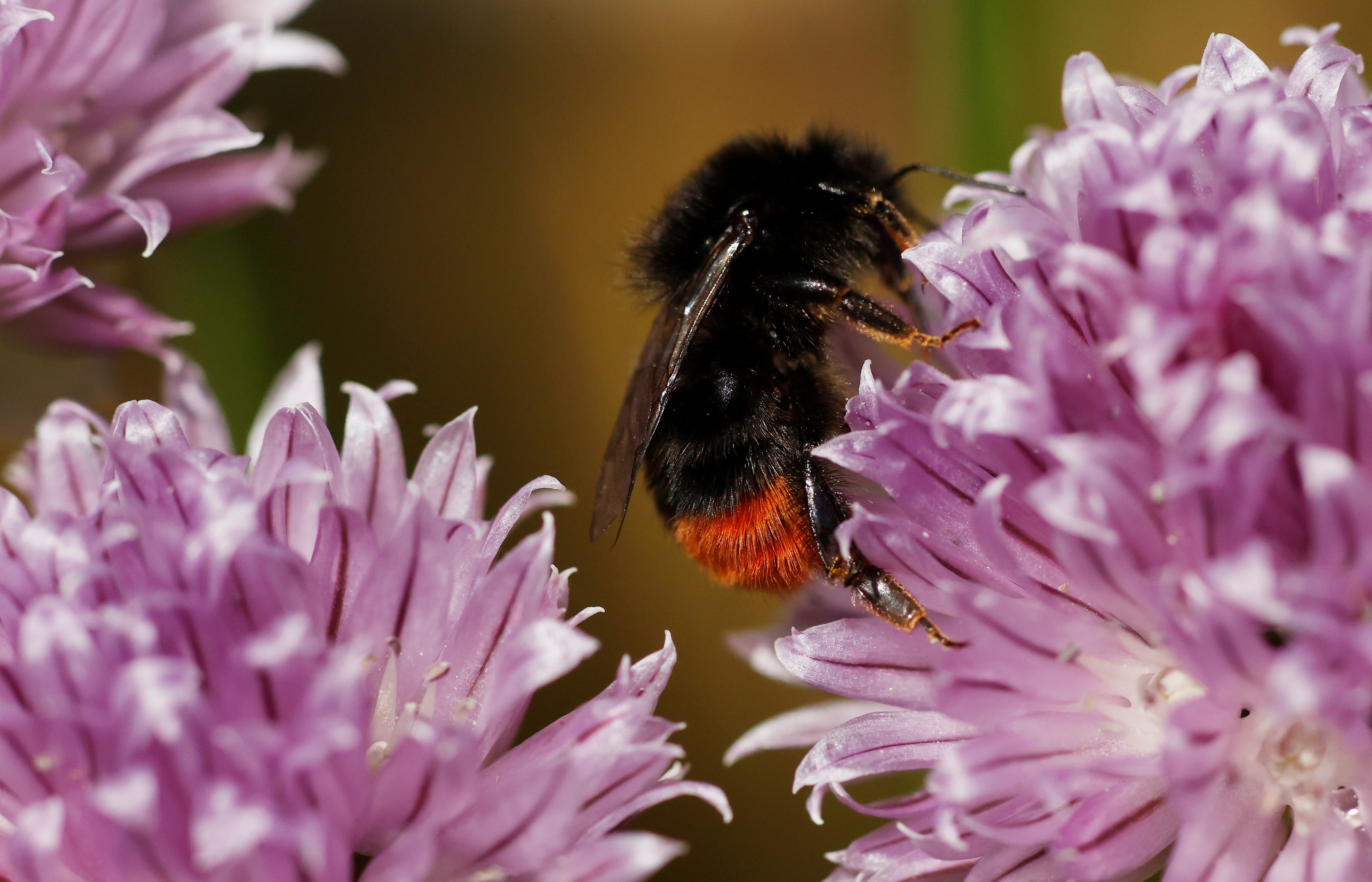 A Red-tailed bumblebee collects pollen from a flower in a garden in Manchester, Britain, May 31, 2021. REUTERS/Phil Noble - RC21RN9D4JEG