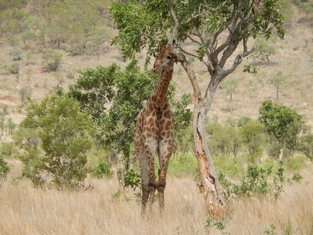 A giraffe standing next to a tree.