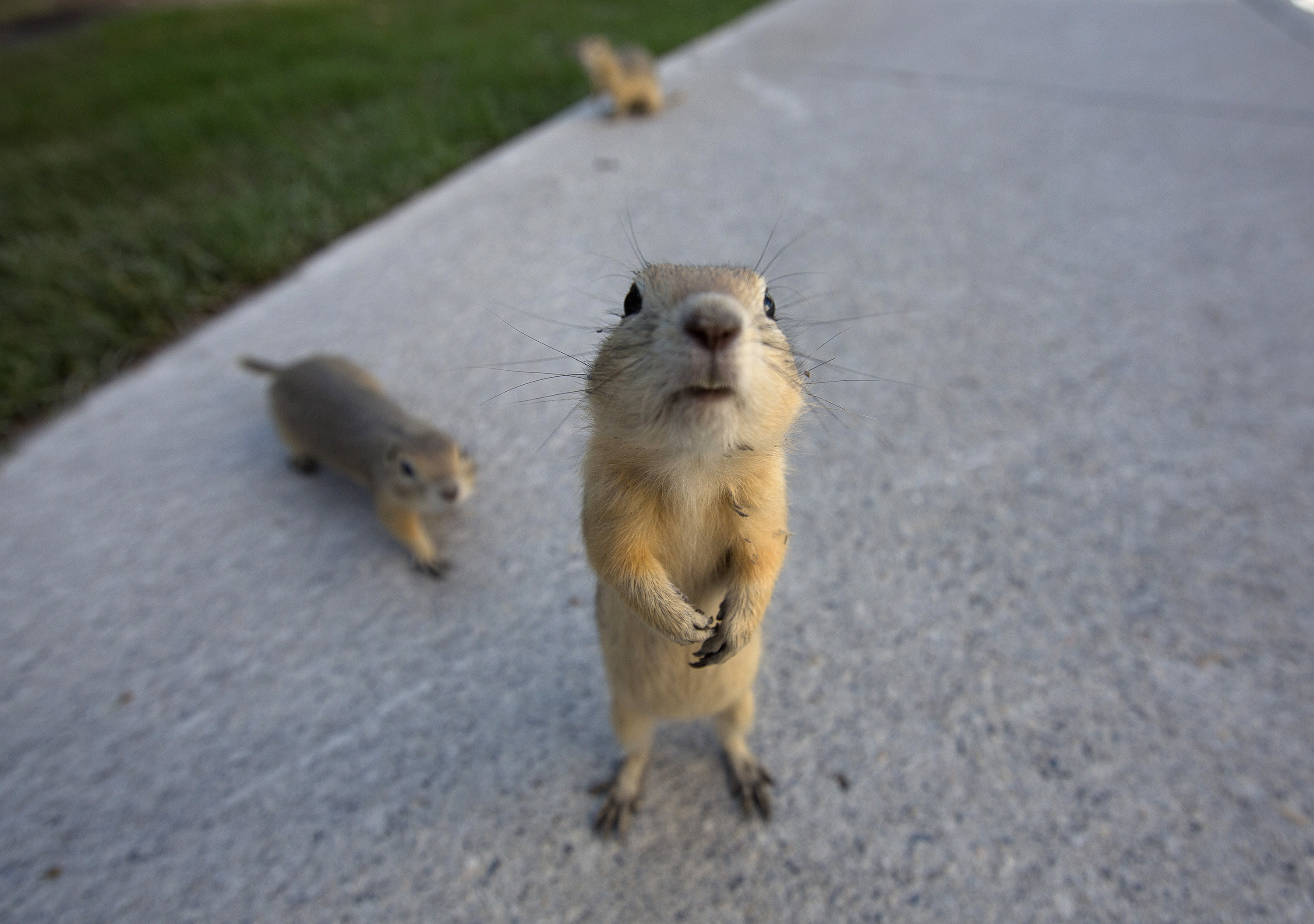 a picture of a gopher
