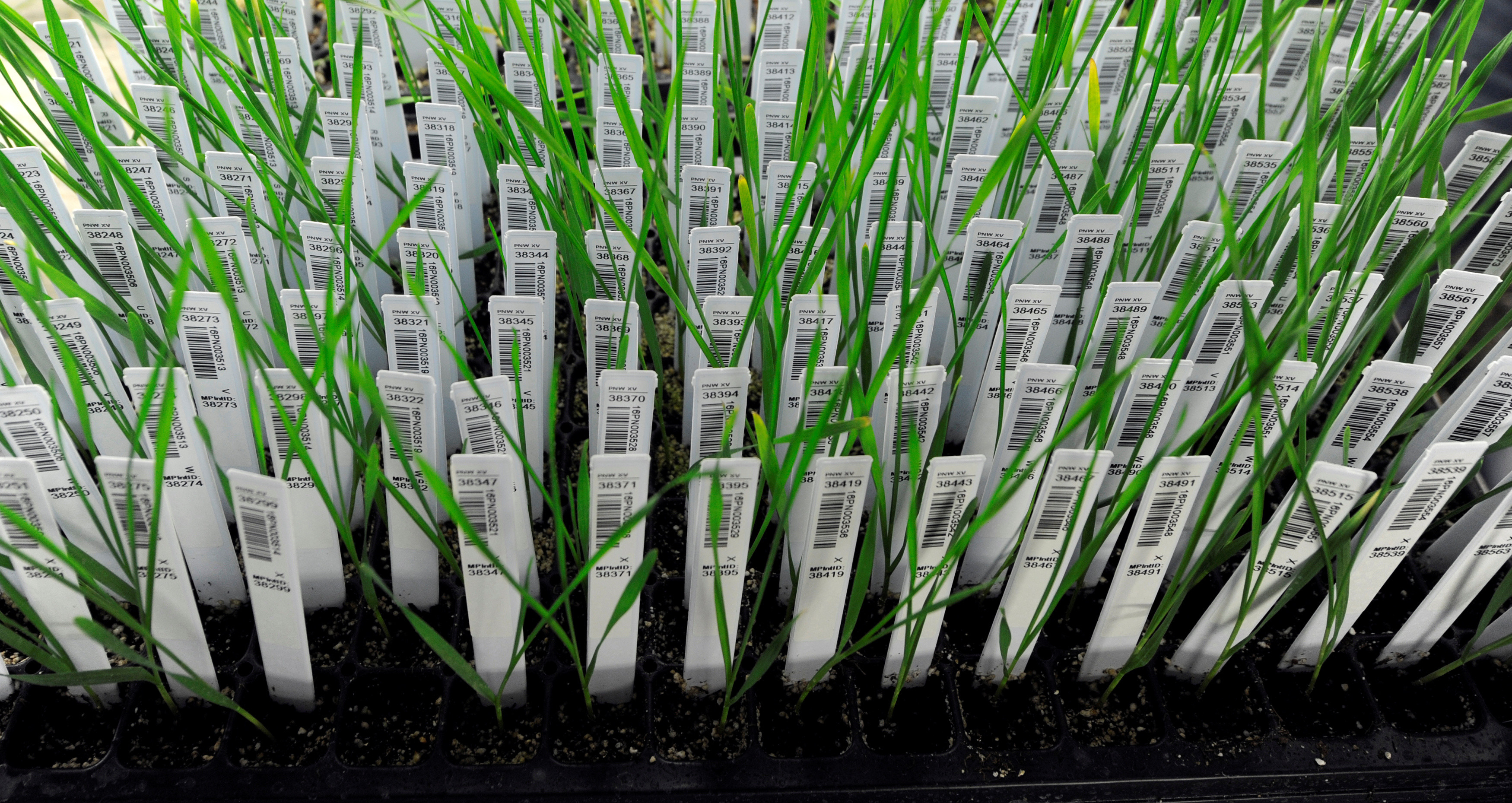 In a refrigerated greenhouse that mimics winter, individually-tagged hybrid wheat sprouts grow in 45-degree Fahrenheit temperatures at the bio-technology company Syngenta's research farm near Junction City, Kansas, U.S. May 4, 2017.  REUTERS/Dave Kaup - RC11A2830D80