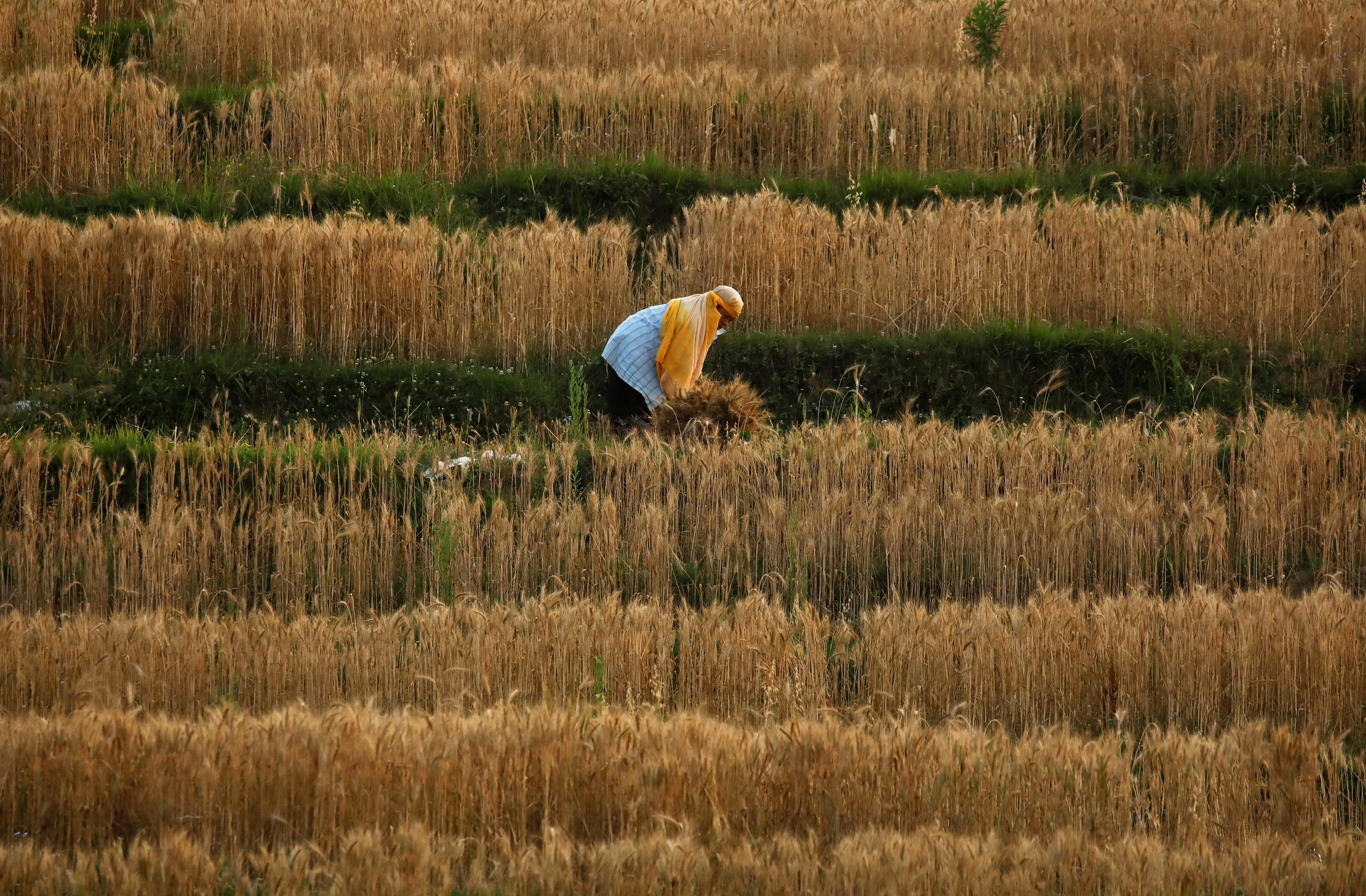 A farmer harvest wheat during the sixty day of the lockdown imposed by the government amid concerns about the spread of the coronavirus disease (COVID-19) outbreak, in Lalitpur, Nepal May 22, 2020.