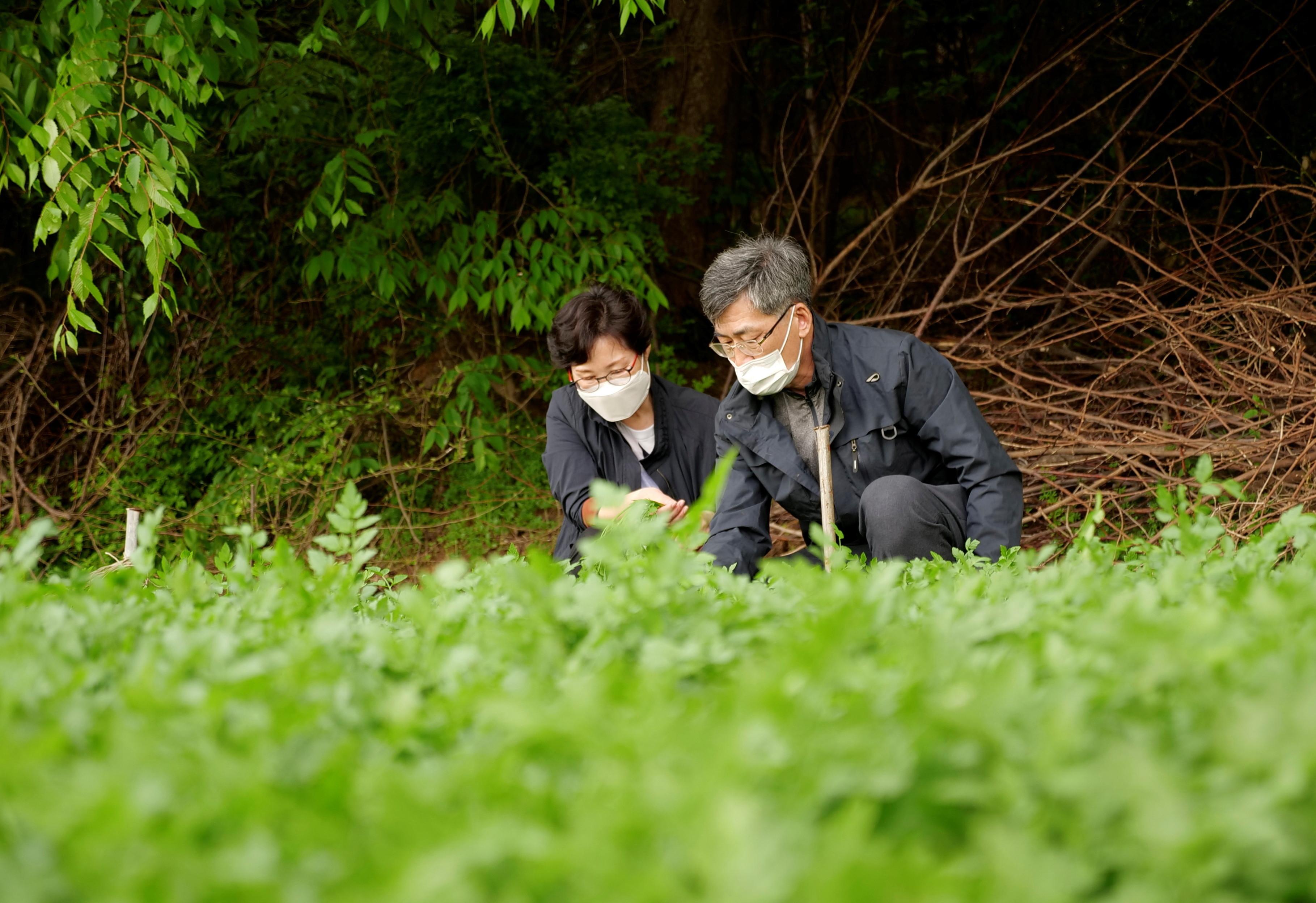 A farmer Ham Byoung-gab and his wife Lim Mi-seon work at their minari (water parsley) farm in Siheung, South Korea, April 26, 2021.