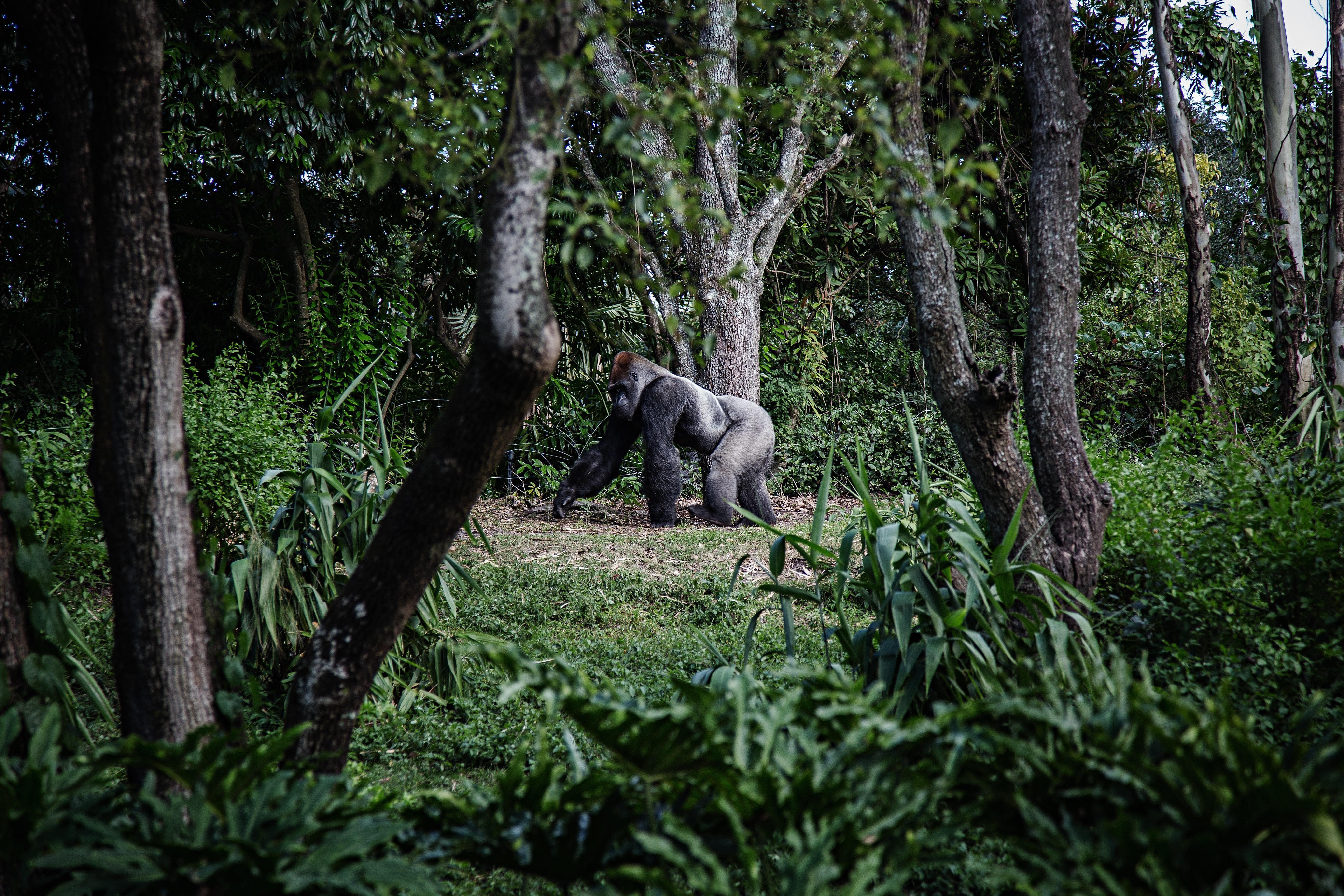 Gorilla walking through forest biodiversity extinction conservation