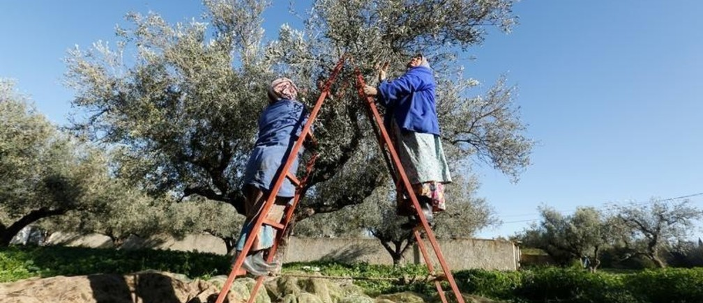 Workers harvest olives from an olive tree in Sidi Thabet, Tunisia, December 15, 2017. Picture taken December 15, 2017.