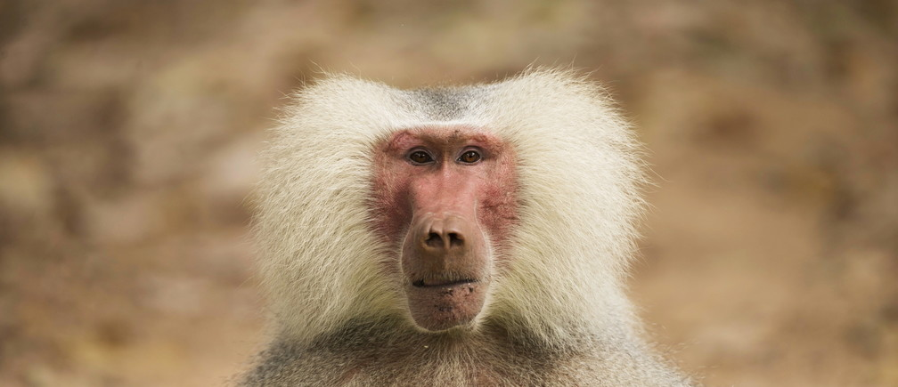 A male baboon (Papio Hamadryas) is seen at the Safari Zoo in Ramat Gan, near Tel Aviv, Israel, September 9, 2015. For the first time at the zoo, a four-year and seven-month-old light-coloured fur baboon gave birth to a female offspring and this has led zookeepers to believe that the very rare light-coloured fur gene is likely to be passed on in their baboon troop, a press release said on Wednesday. REUTERS/Baz Ratner