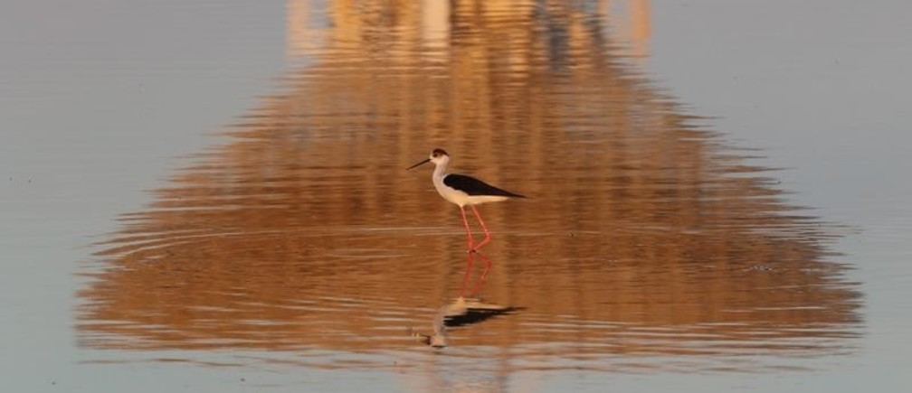 A black-winged stilt walks as the RT-70 radio telescope is reflected in the Galgasskoye lake near the village of Molochnoye, Crimea May 22, 2018.