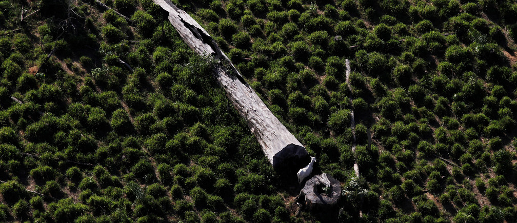 A cow grazes next to a fallen tree on a tract of deforested Amazon rainforest near the city of Novo Progresso, Brazil July 2, 2013. Picture taken July 2, 2013. REUTERS/Nacho Doce/File Photo - RTSHYDN