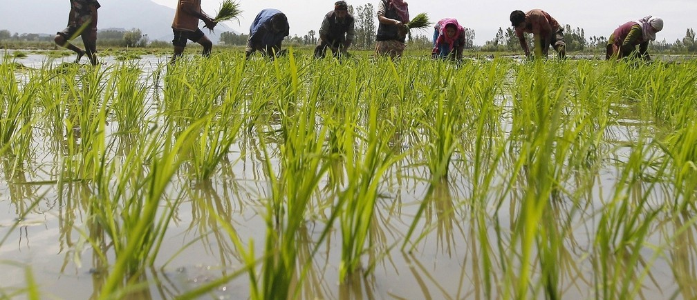 Farmers plant saplings in a rice field on the outskirts of Srinagar June 10, 2015. India's farm economy could contract this fiscal year for the first time in over a decade because of drought, threatening Prime Minister Narendra Modi's drive to lift millions in the countryside out of poverty and bolster his party's support. Picture taken June 10. To match INDIA-ECONOMY/AGRICULTURE Farmers plant saplings in a rice field on the outskirts of Srinagar June 10, 2015. India's farm economy could contract this fiscal year for the first time in over a decade because of drought, threatening Prime Minister Narendra Modi's drive to lift millions in the countryside out of poverty and bolster his party's support. Picture taken June 10. To match INDIA-ECONOMY/AGRICULTURE  REUTERS/Danish Ismail    - RTX1GI7Nl    - RTX1GI7N