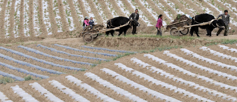 Farmers lead their cows transporting carts of cow dung, to be used as fertiliser, as they walk past a field of codonopsis pilosula, a traditional Chinese medicine also known as dang shen, in Min county, Gansu province May 31, 2011. Rows of white plastic shields have been installed to protect the roots of the dang shen to keep it warm and moist. Commonly used as a cheaper substitute for ginseng, the herb is believed to lower blood pressure, boost one's immune system and improve appetite. REUTERS/Stringer (CHINA - Tags: AGRICULTURE SOCIETY HEALTH) - GM1E75V1LLJ01
