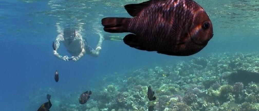 A tourist and domino fish (Dascyllus trimacultus) swim together near corals at the Egyptian resort of Madinat Makadi near Hurgada June 8, 2011.  REUTERS/Gleb Garanich (EGYPT - Tags: TRAVEL ANIMALS)