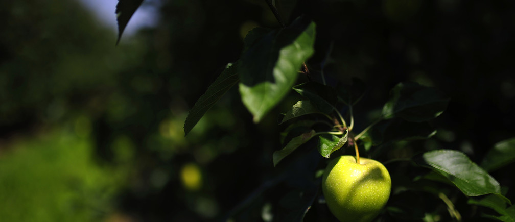 An apple is seen on a tree at an orchard, near Grojec August 4, 2014. Moscow announced its ban on most fruit and vegetable imports from Poland on Wednesday following the European Union's decision to impose sanctions targeting Russia's banking, oil and defence sectors because of the Kremlin's actions in Ukraine. Poland is the world's largest exporter of apples with more than two-thirds of them going to Russia. The statistics office put the value of Poland's apple exports to Russia last year at 273 million euros ($366 million). REUTERS/Filip Klimaszewski (POLAND - Tags: AGRICULTURE POLITICS BUSINESS) - GM1EA841NWV01